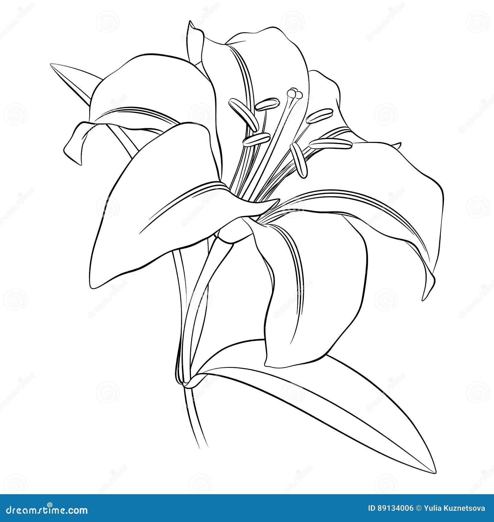 Esquema Negro De Una Flor Del Lirio En Un Fondo Blanco Ilustración