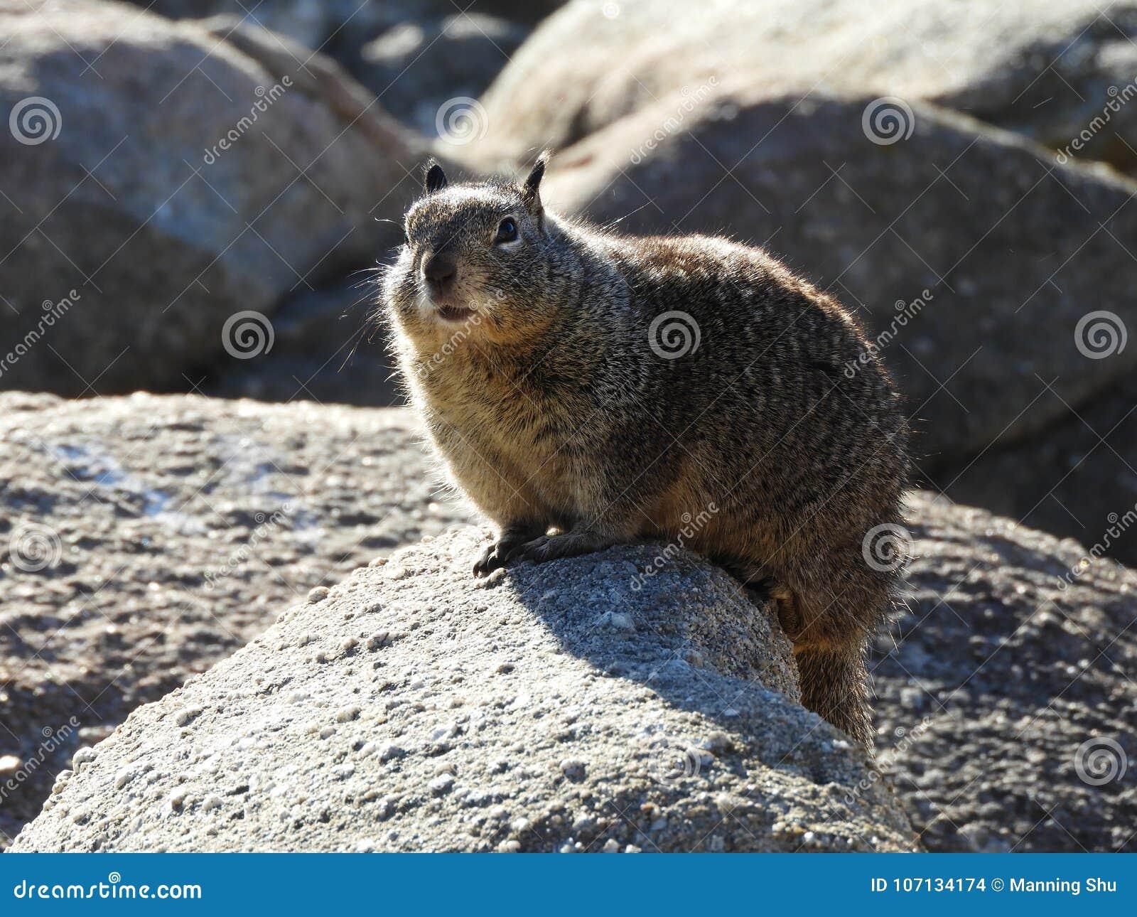 Esquilo à terra de Califórnia do banho de sol