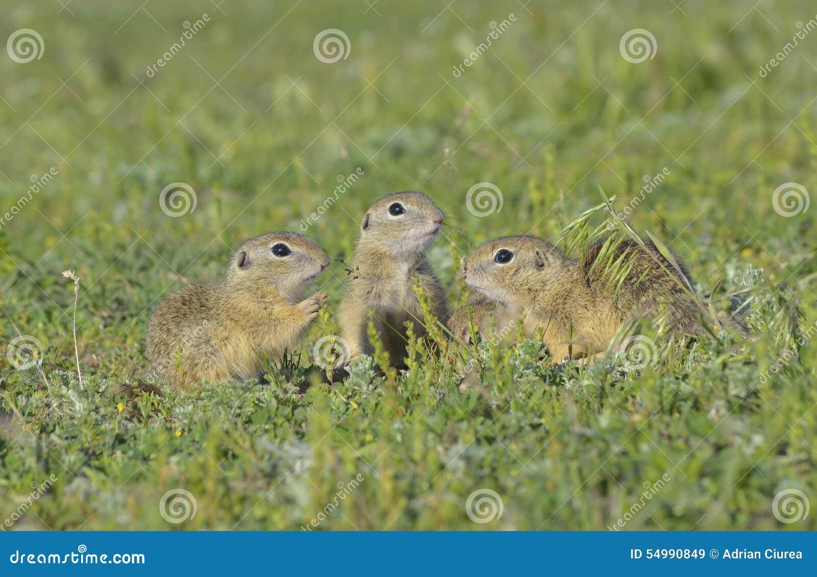 Esquilo à terra europeu (citellus do Spermophilus)