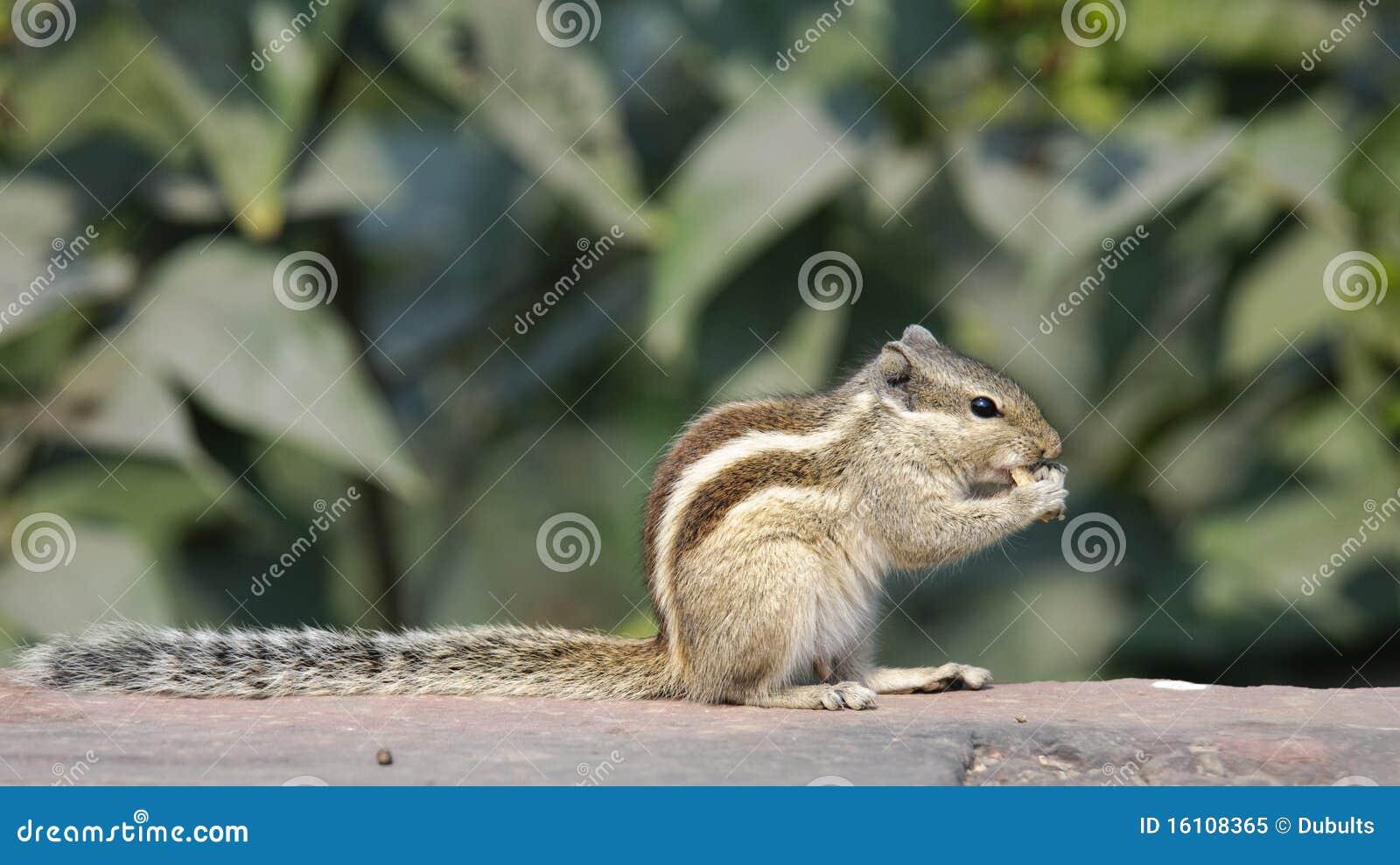 Esquilo da palma