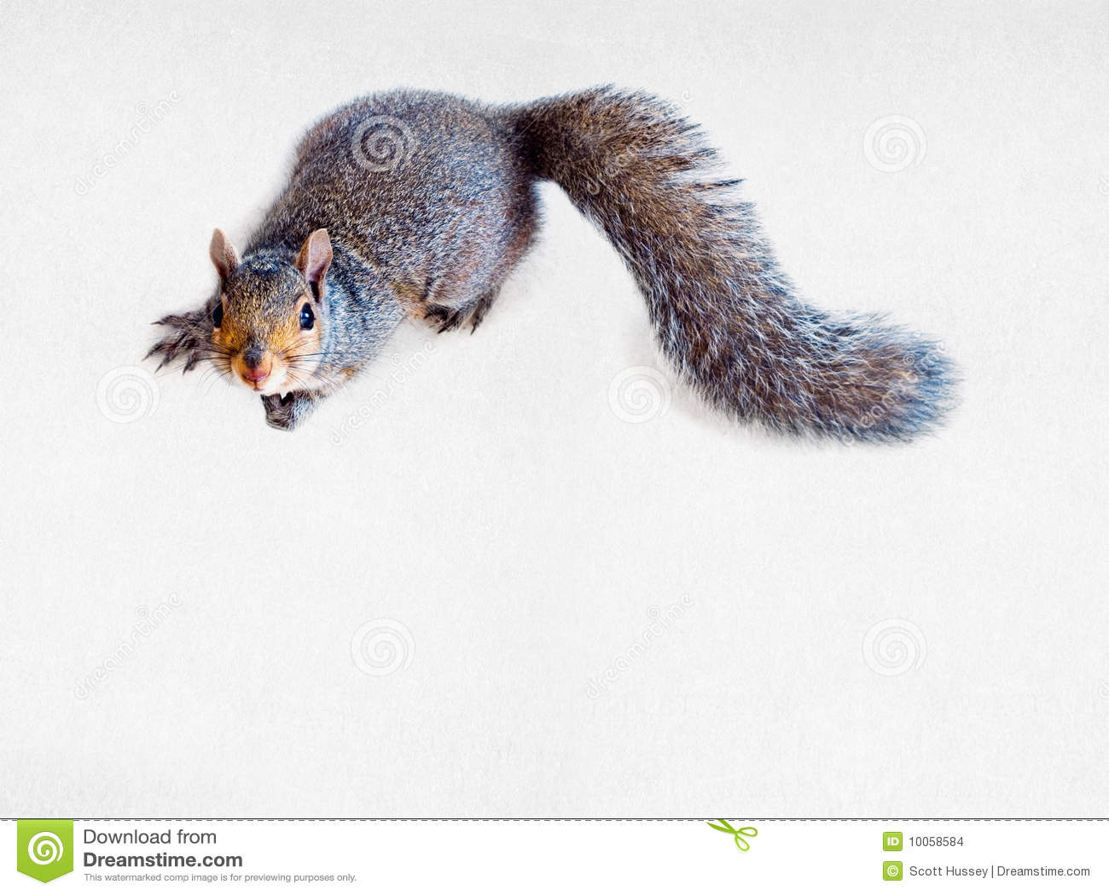 Esquilo de cinza oriental