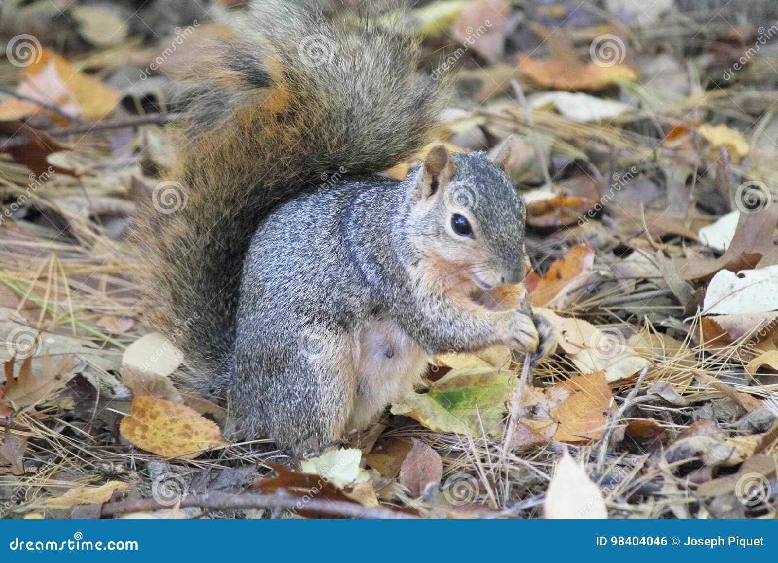 Esquilo de Fox