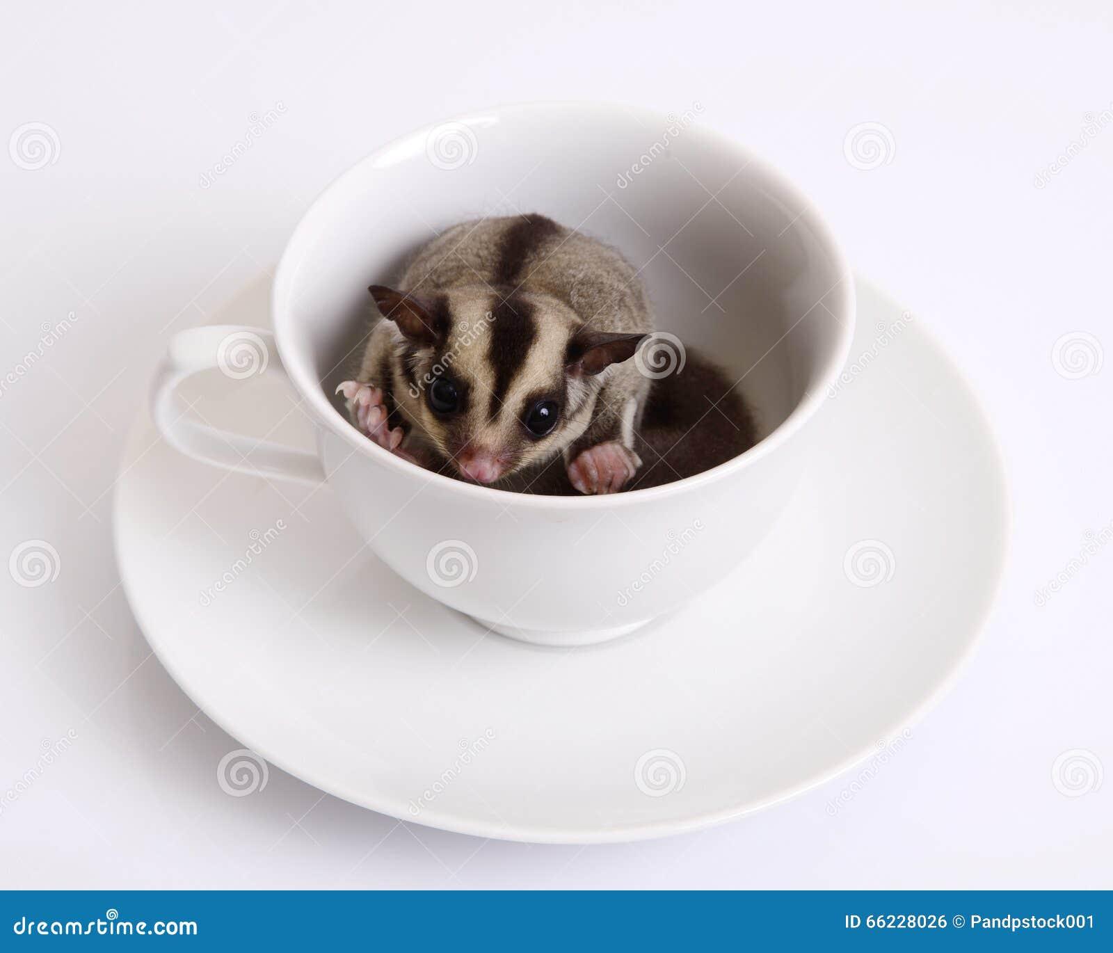Esquilo de voo ou Sugarglider em uma xícara de café cerâmica