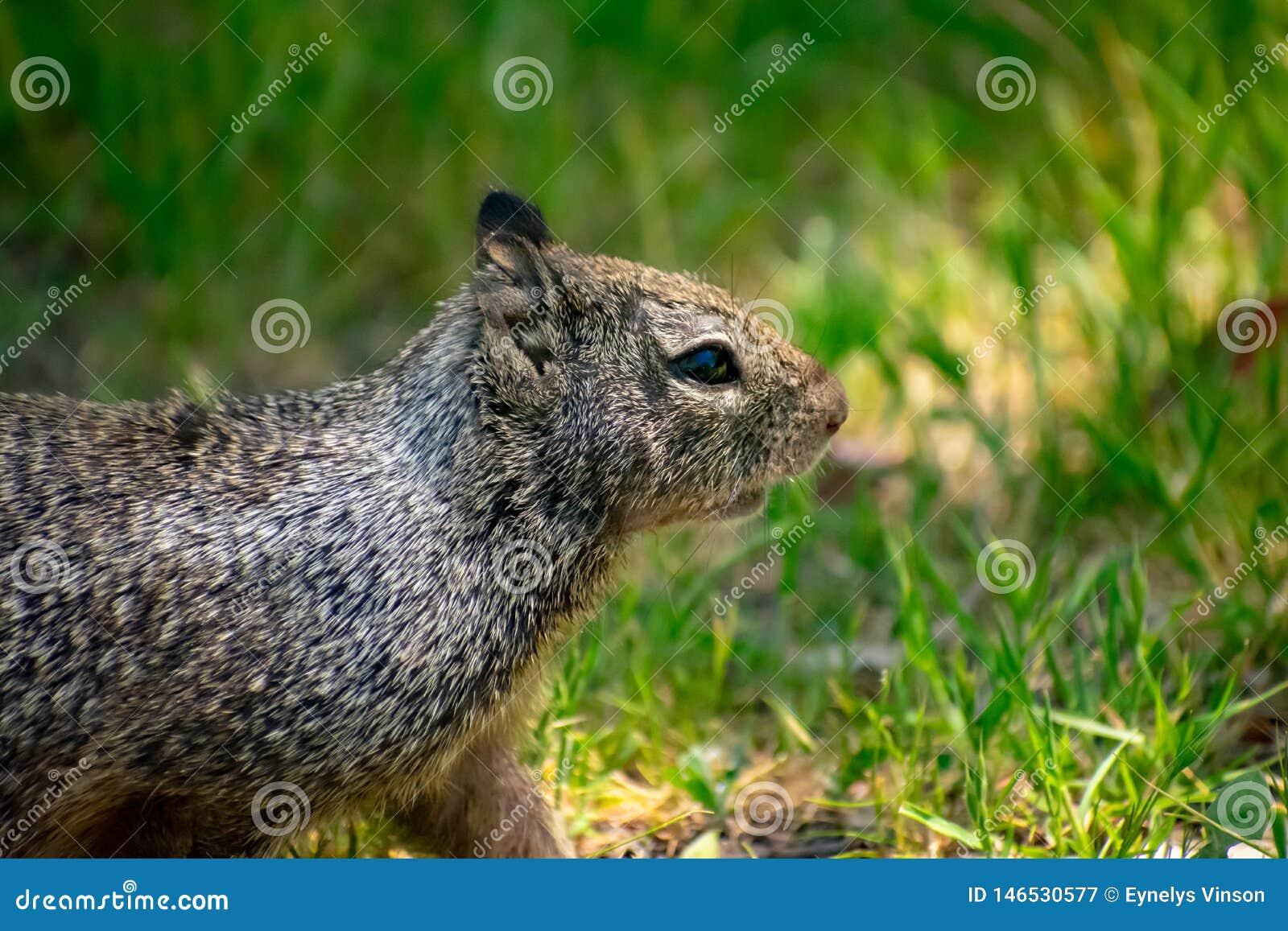 Esquilo na área bonita do prado