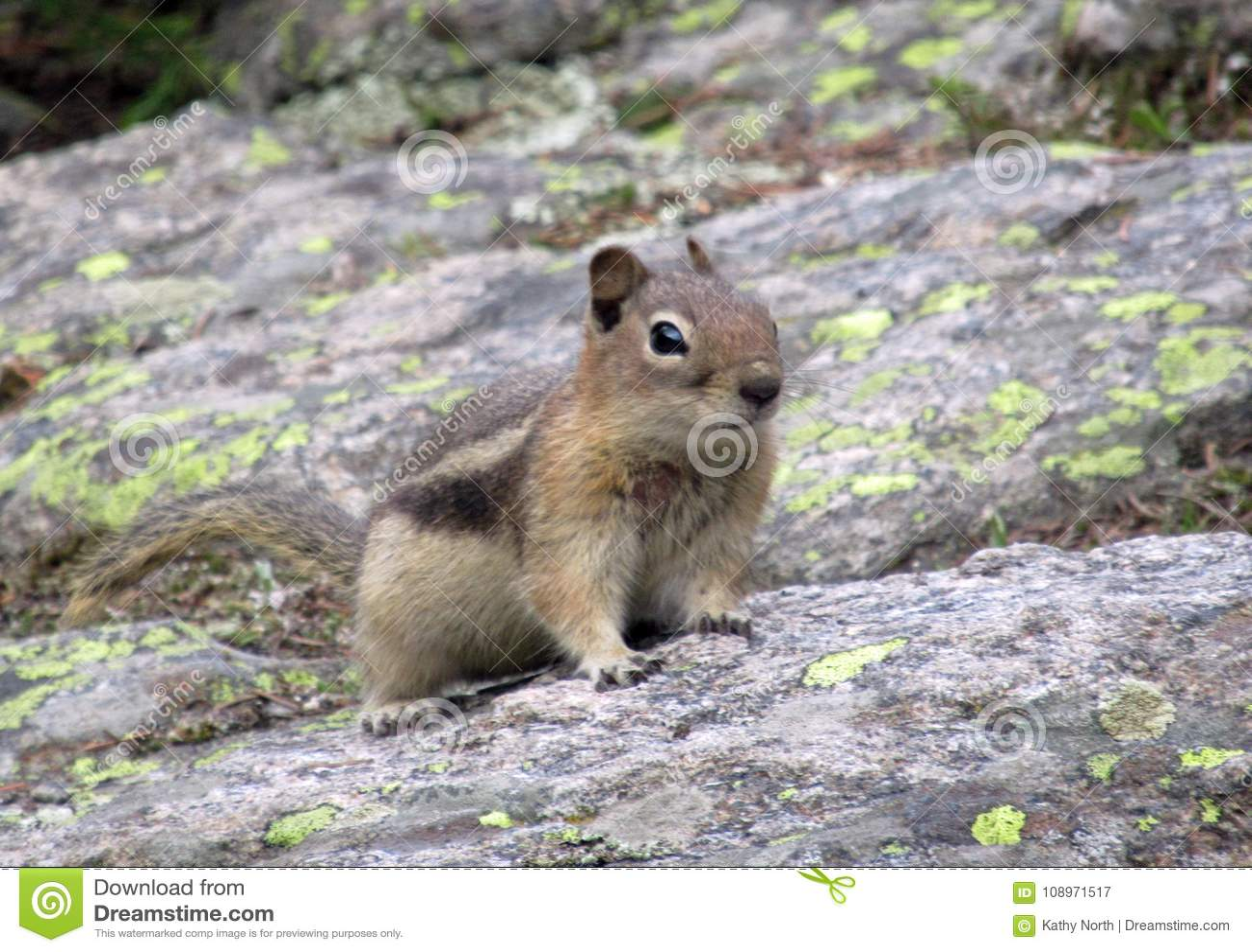 Esquilo na rocha na região selvagem