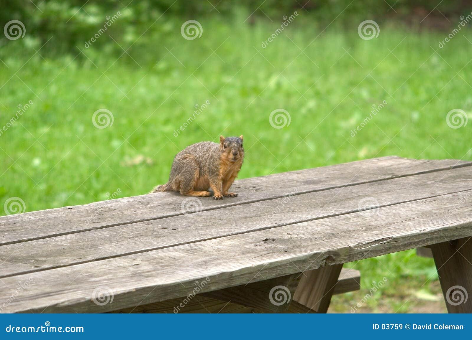 Esquilo na tabela de piquenique