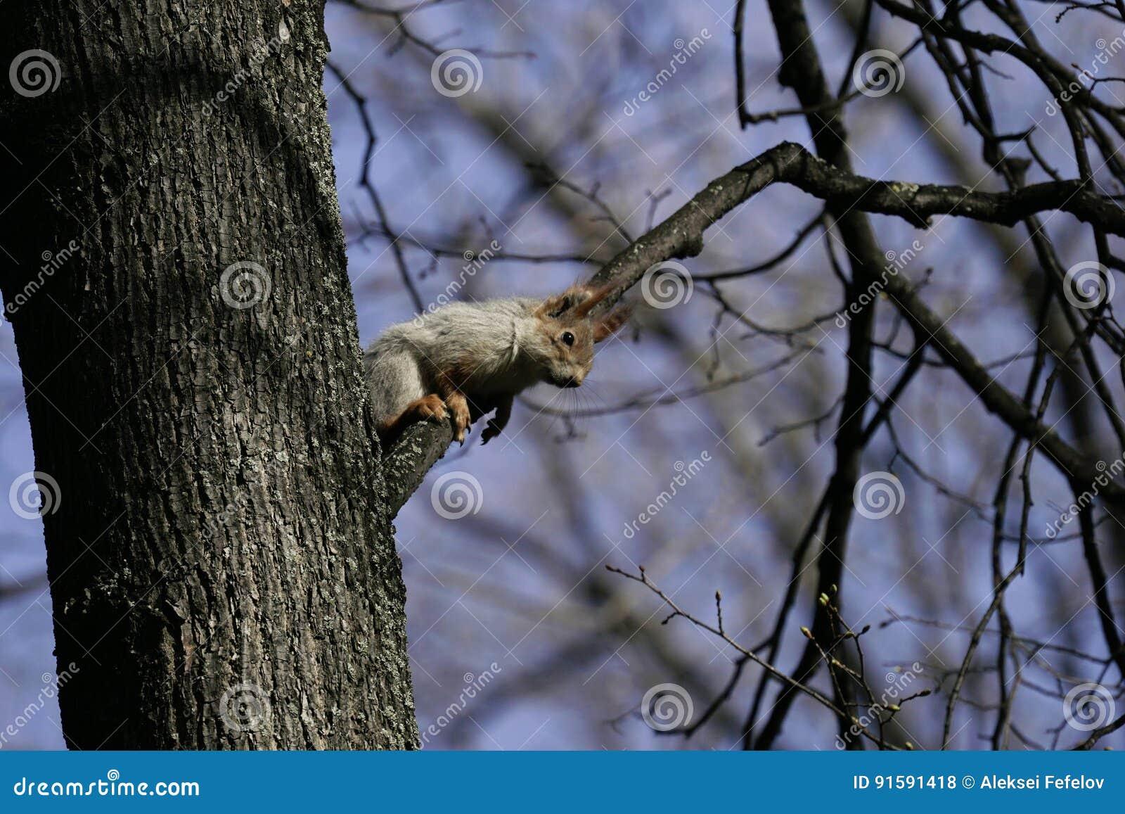 Esquilo no habitat natural O esquilo escala rapidamente árvores, encontra o alimento e come-o Dia de mola ensolarado na floresta