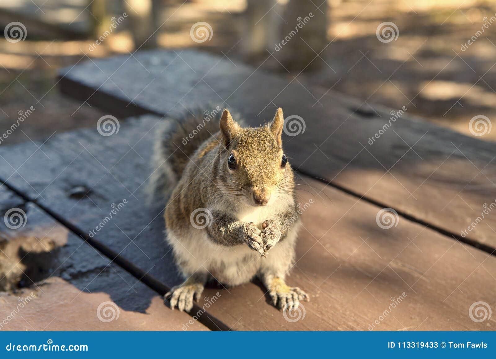 Esquilo no parque que implora por amendoins
