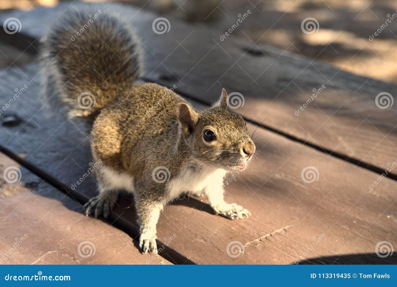 Esquilo no parque que implora por um amendoim