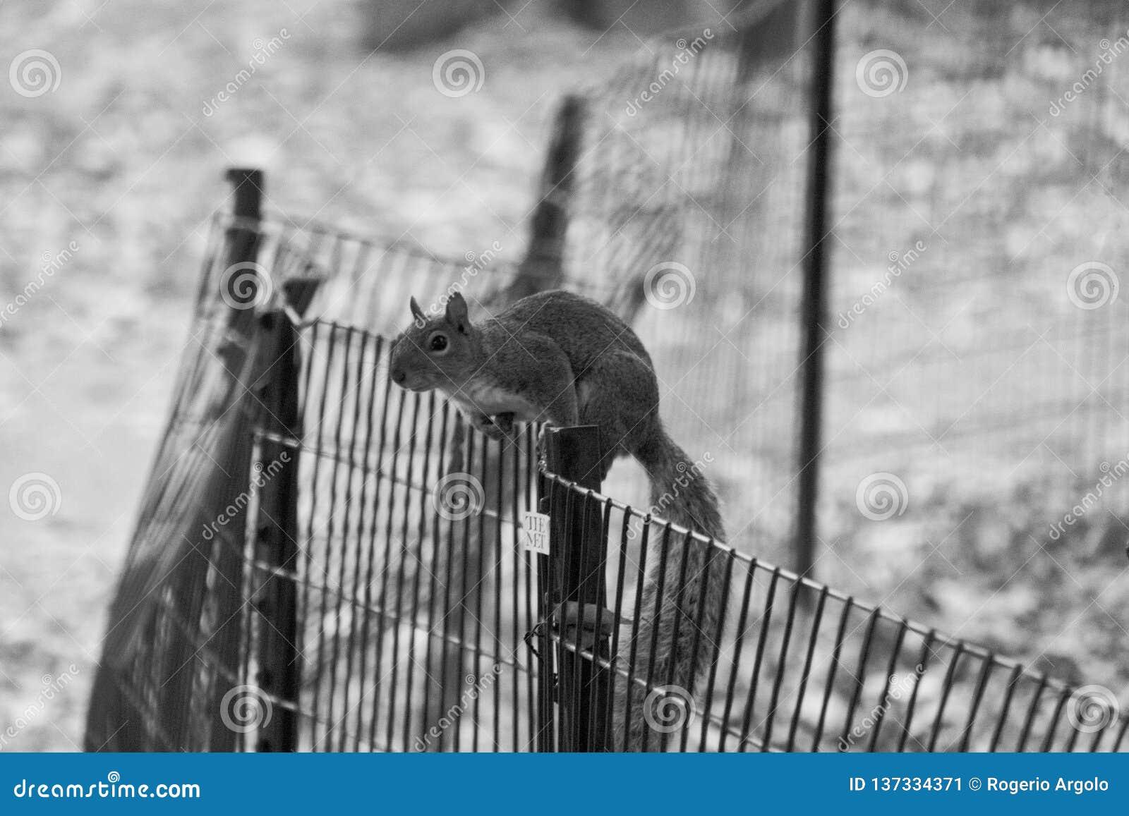 Esquilo preto e branco