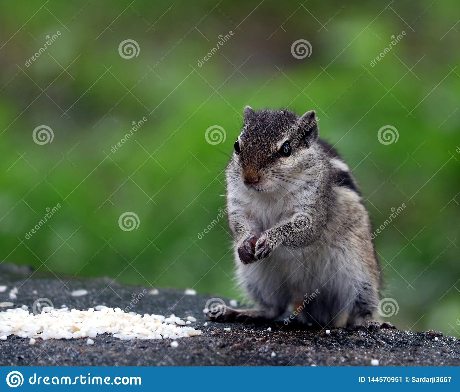 Esquilo que come um alimento