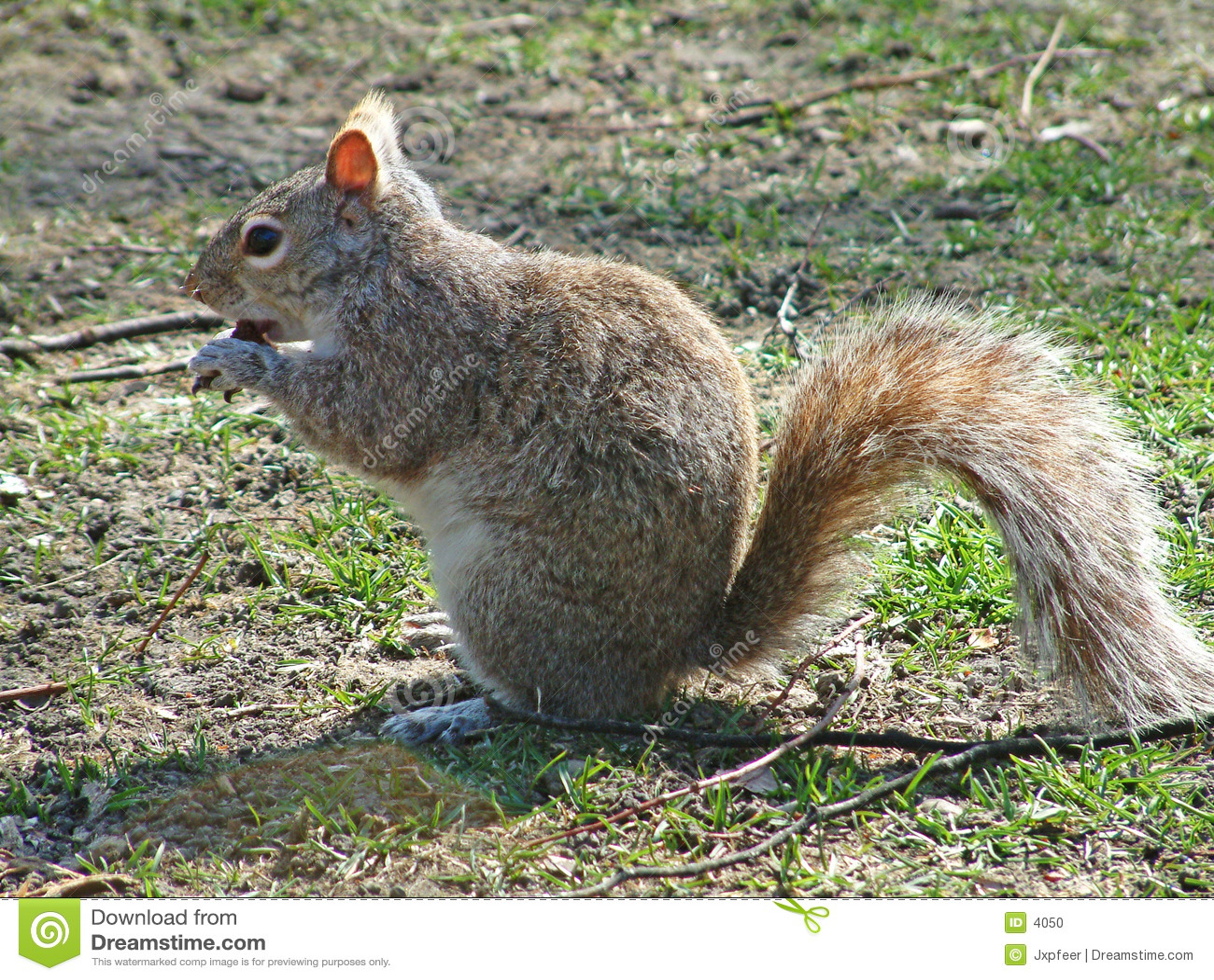 Esquilo que come uma brownie