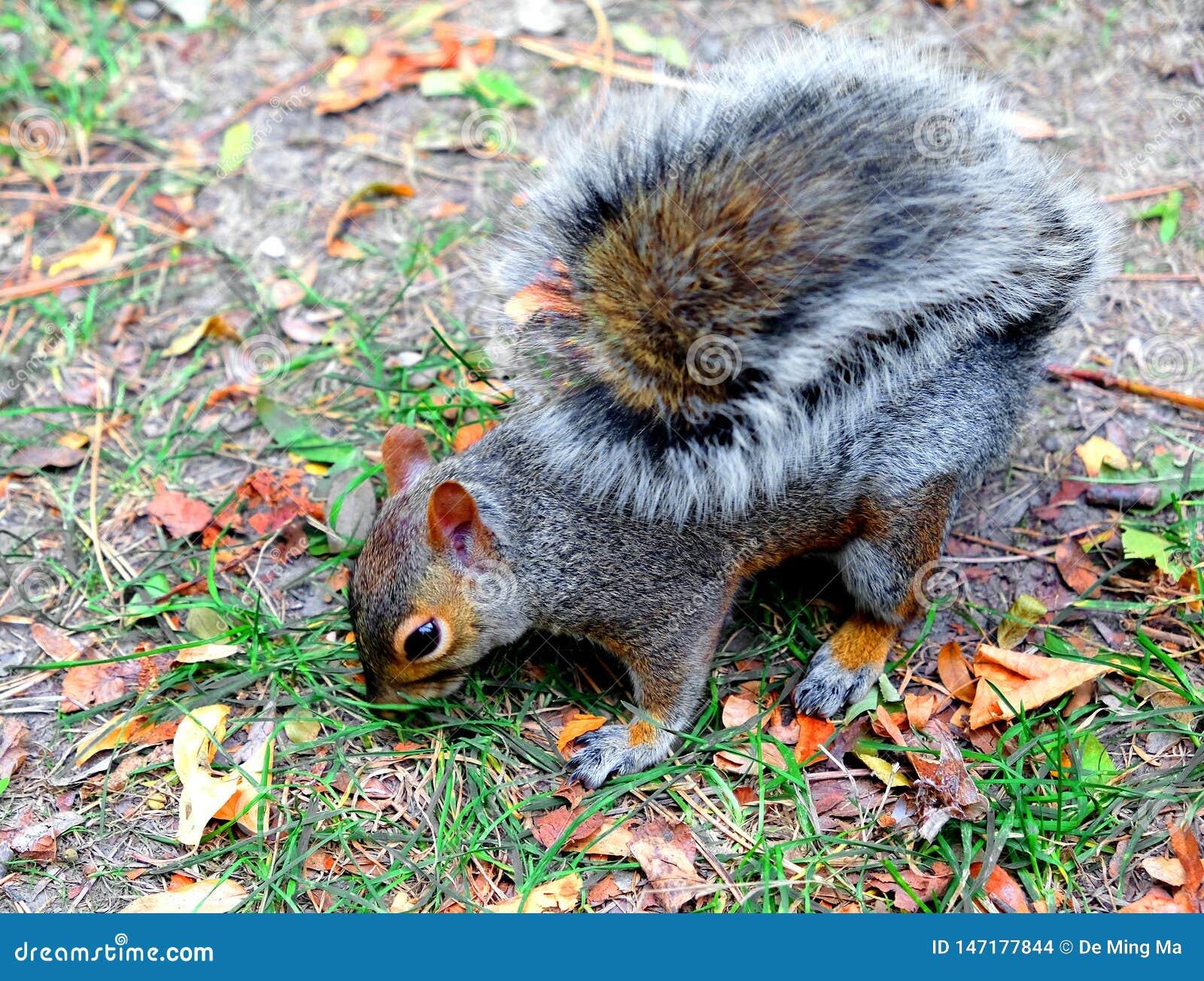 Esquilo que come uma porca