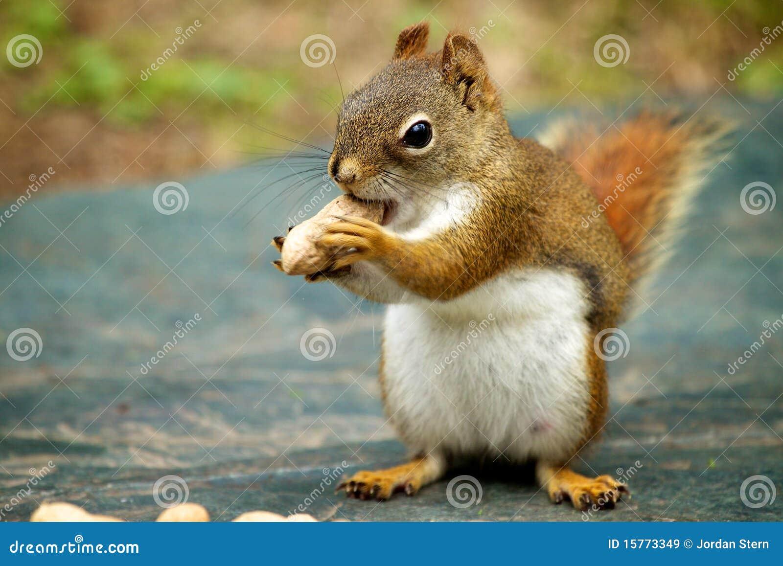 Esquilo vermelho