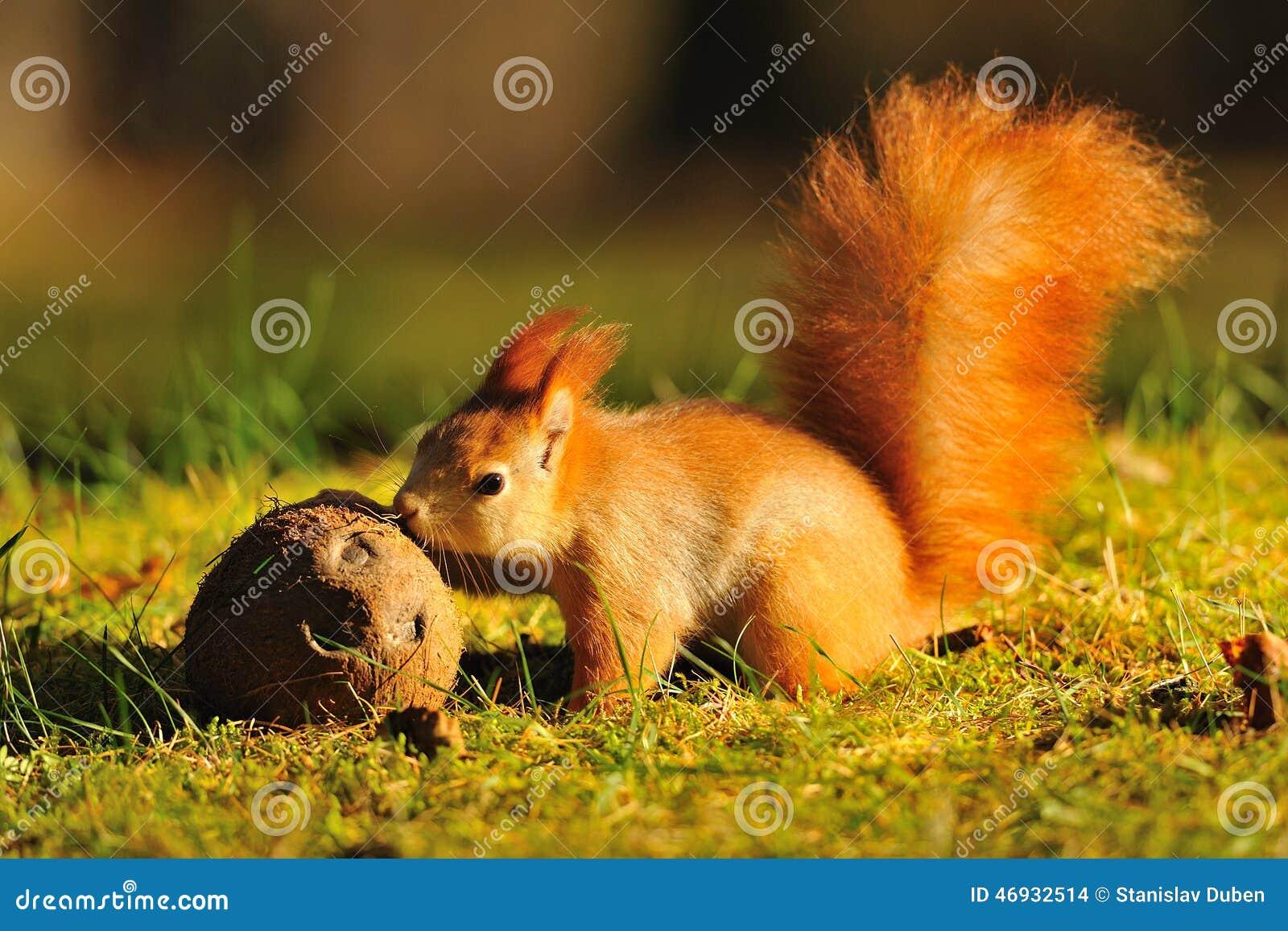 Esquilo vermelho com coco