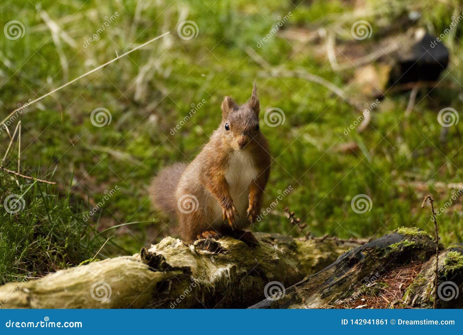 Esquilo vermelho de Yorkshire