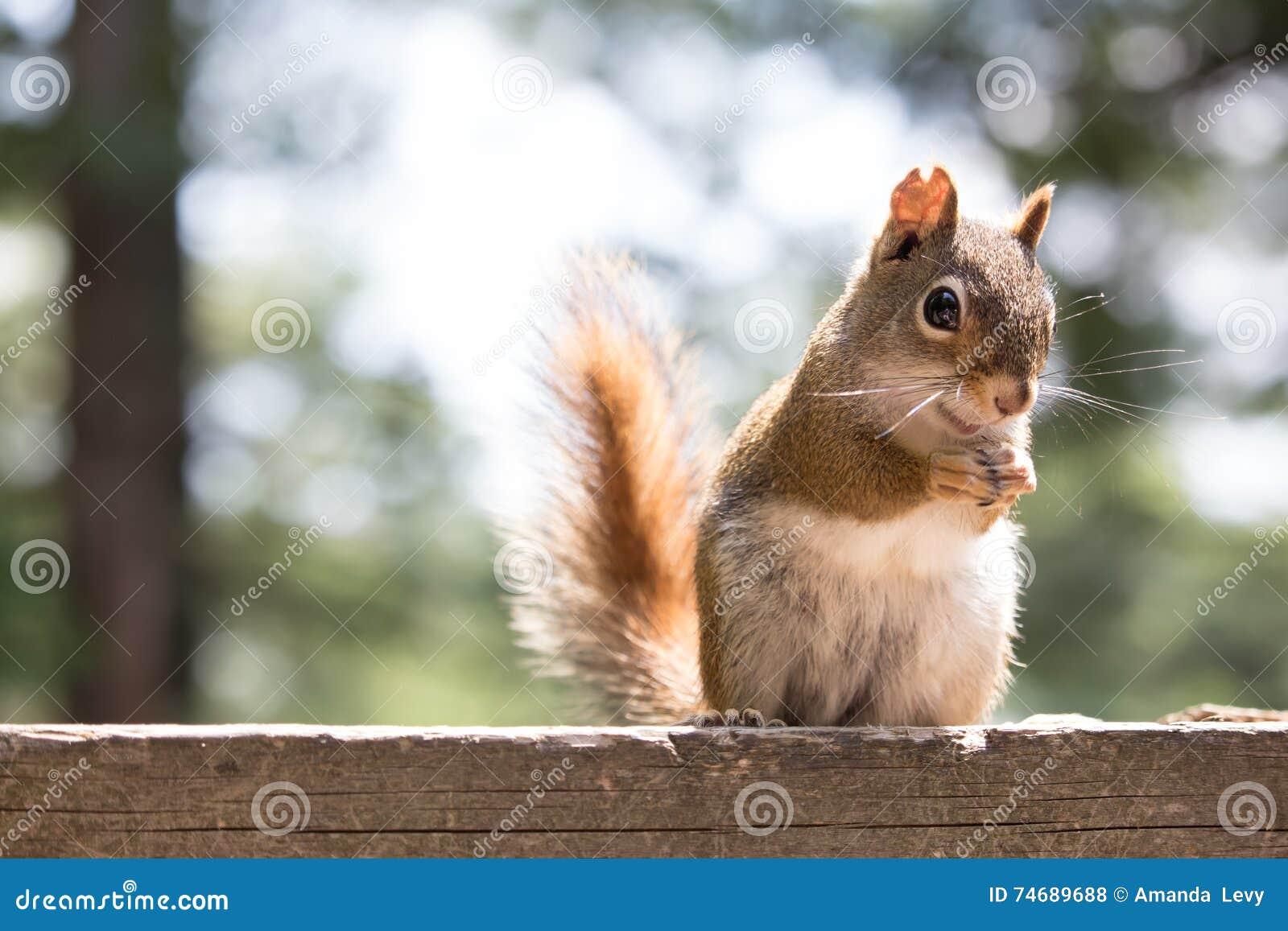 Esquilo vermelho em uma plataforma da casa de campo