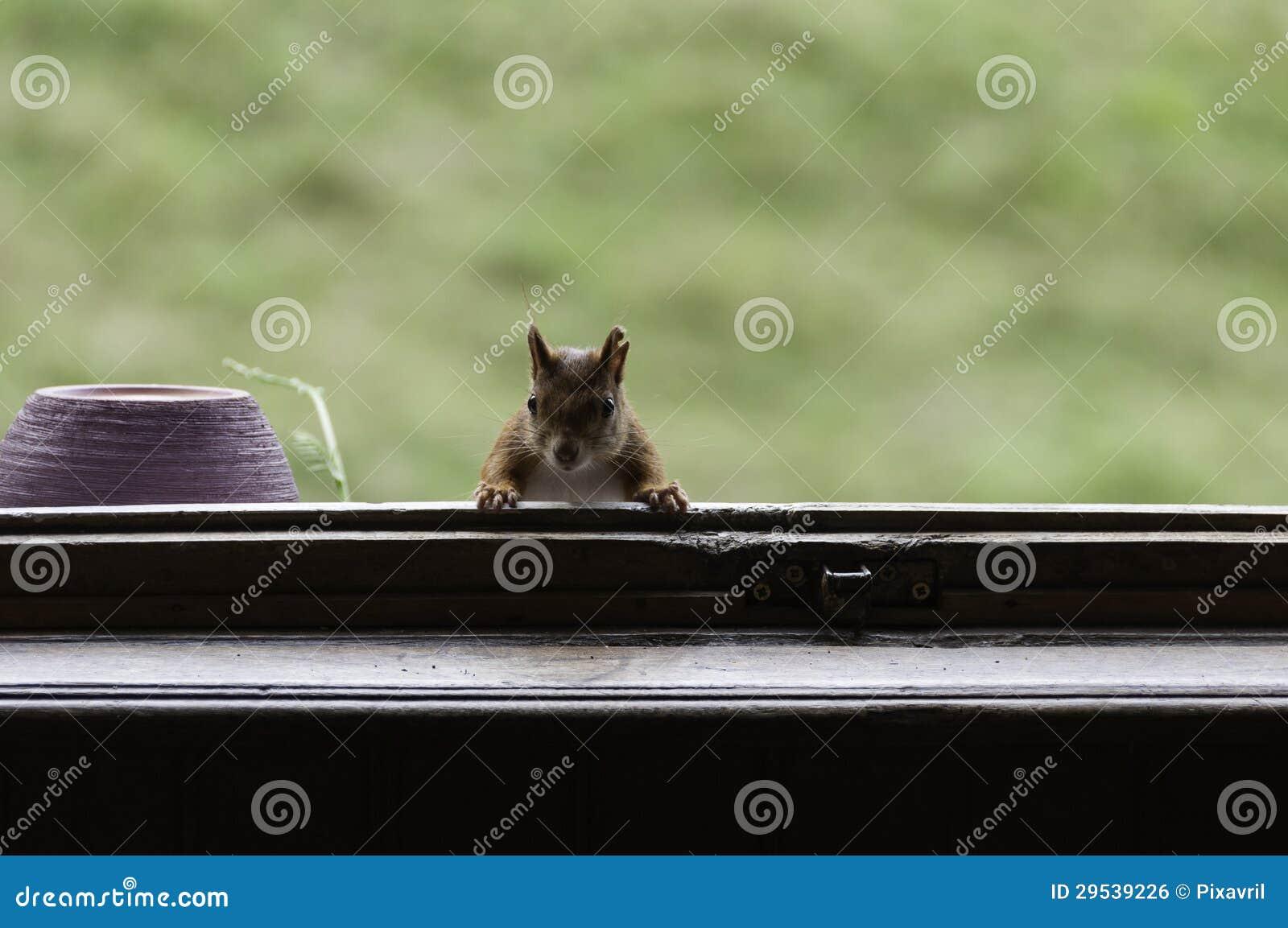 Esquilo vermelho no indicador