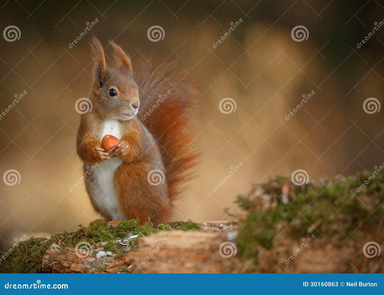 Esquilo vermelho que olha direito