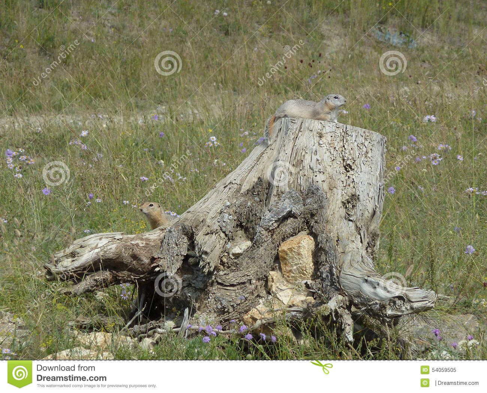 Esquilos à terra curiosos em um coto