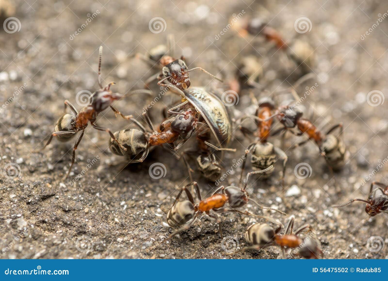 Essaim des combats de fourmis pour le macro de nourriture