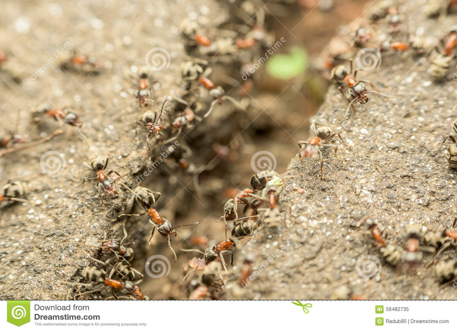 Essaim des fourmis passant la nourriture au-dessus de l abîme