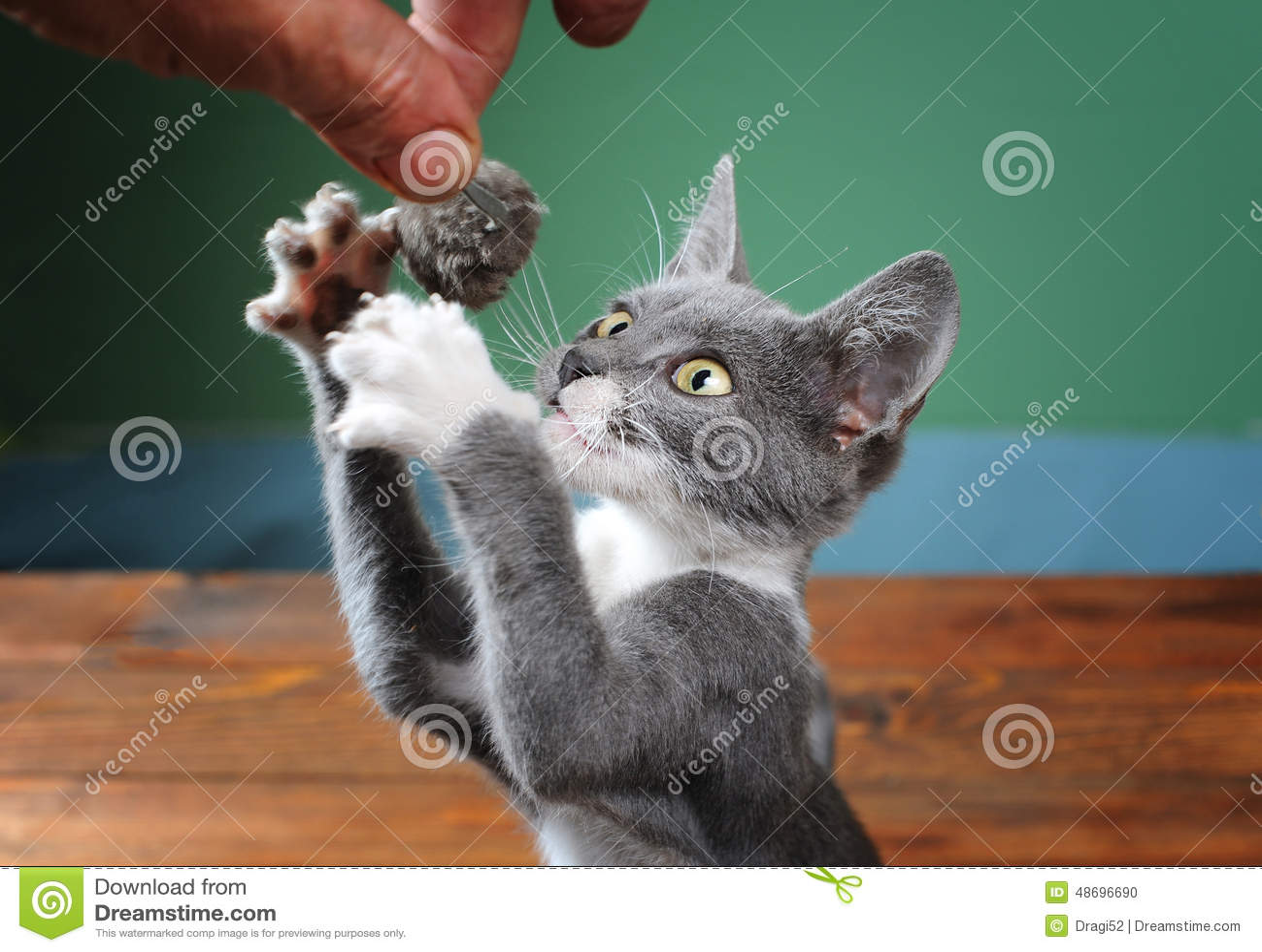 essais de chat pour attraper la souris de peluche photo stock image du oeil domestique 48696690. Black Bedroom Furniture Sets. Home Design Ideas