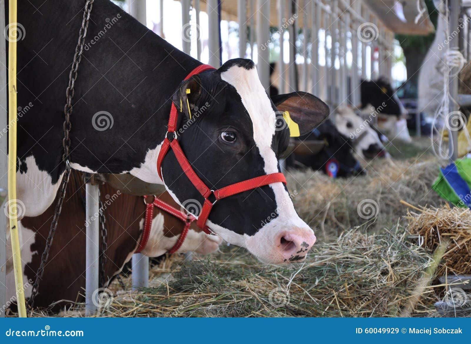 Essen der Kuh