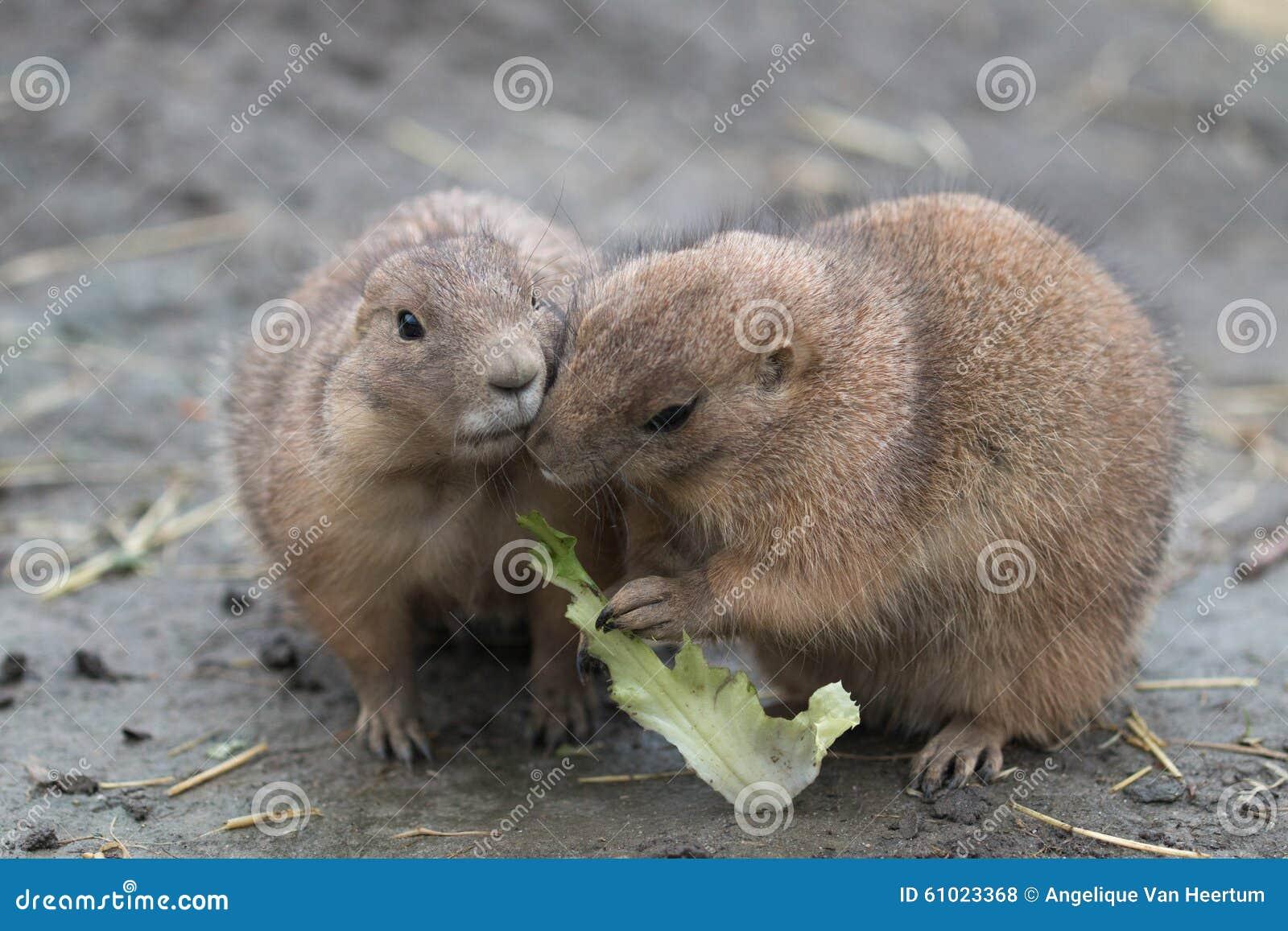 Essen mit zwei Präriehunden