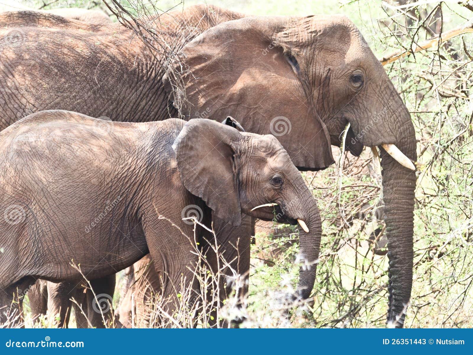 Essen mit zwei wildes afrikanischen Elefanten