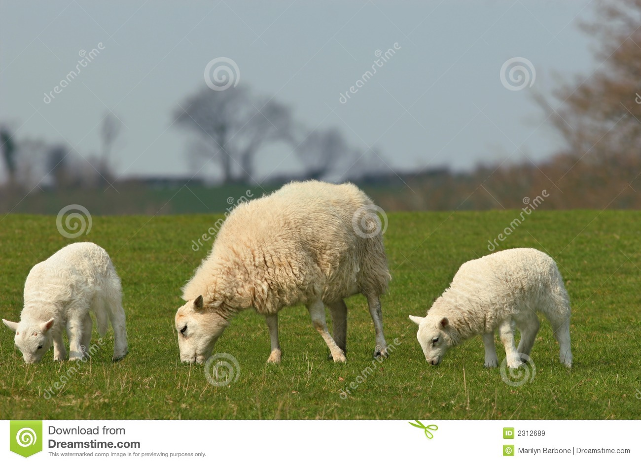 Download The Essence of Spring stock image. Image of lamb, baby - 2312689