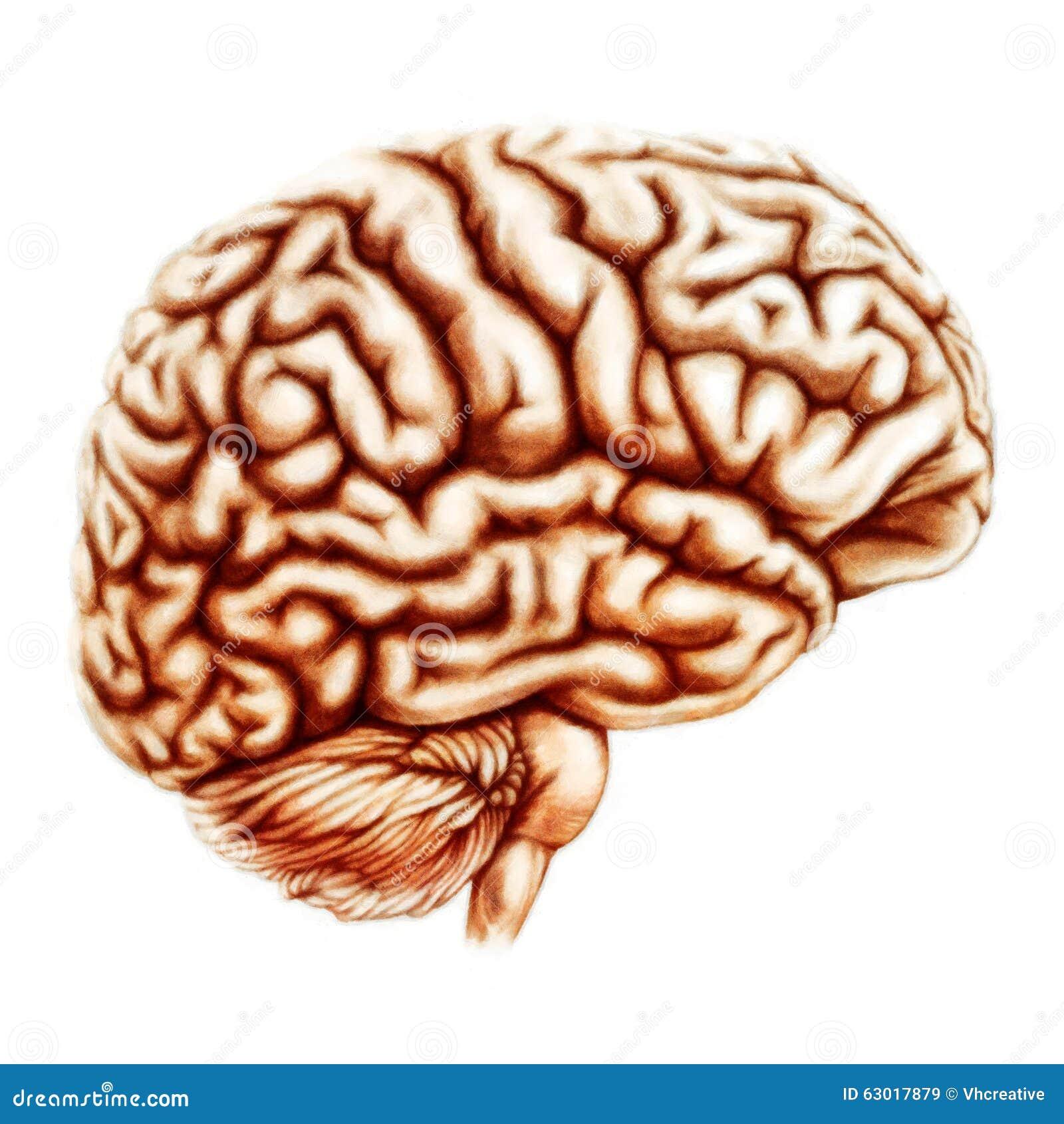 Essere umano Brain Anatomy Illustration