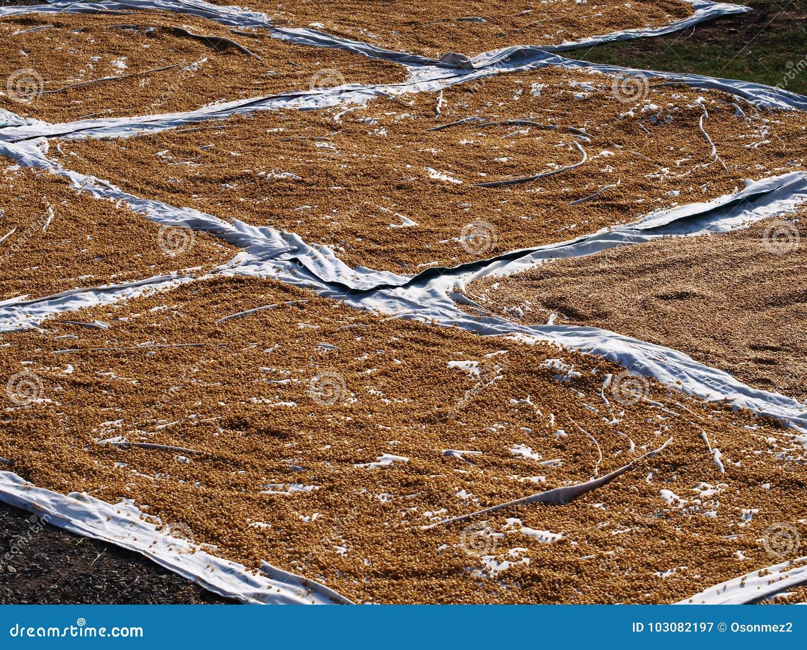 Essiccazione del grano sul tessuto bianco alla città locale