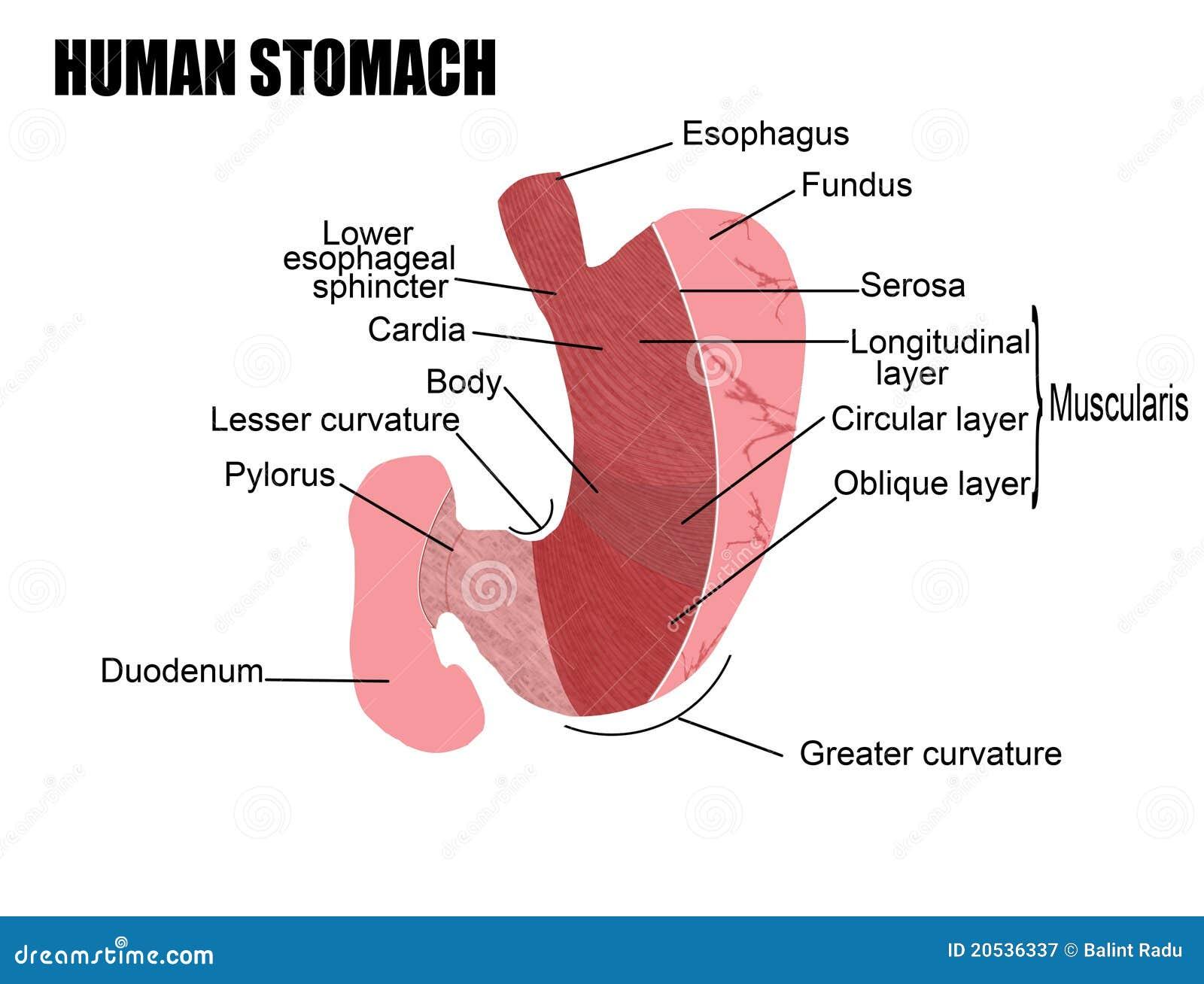 Estómago humano ilustración del vector. Ilustración de sano - 20536337