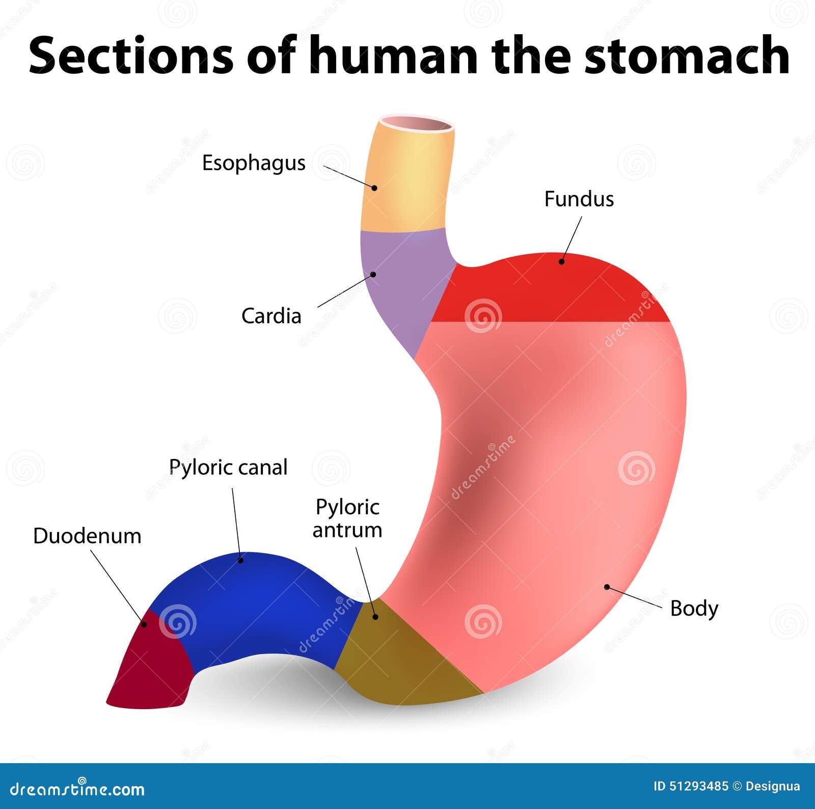 Estómago humano ilustración del vector. Ilustración de esófago ...