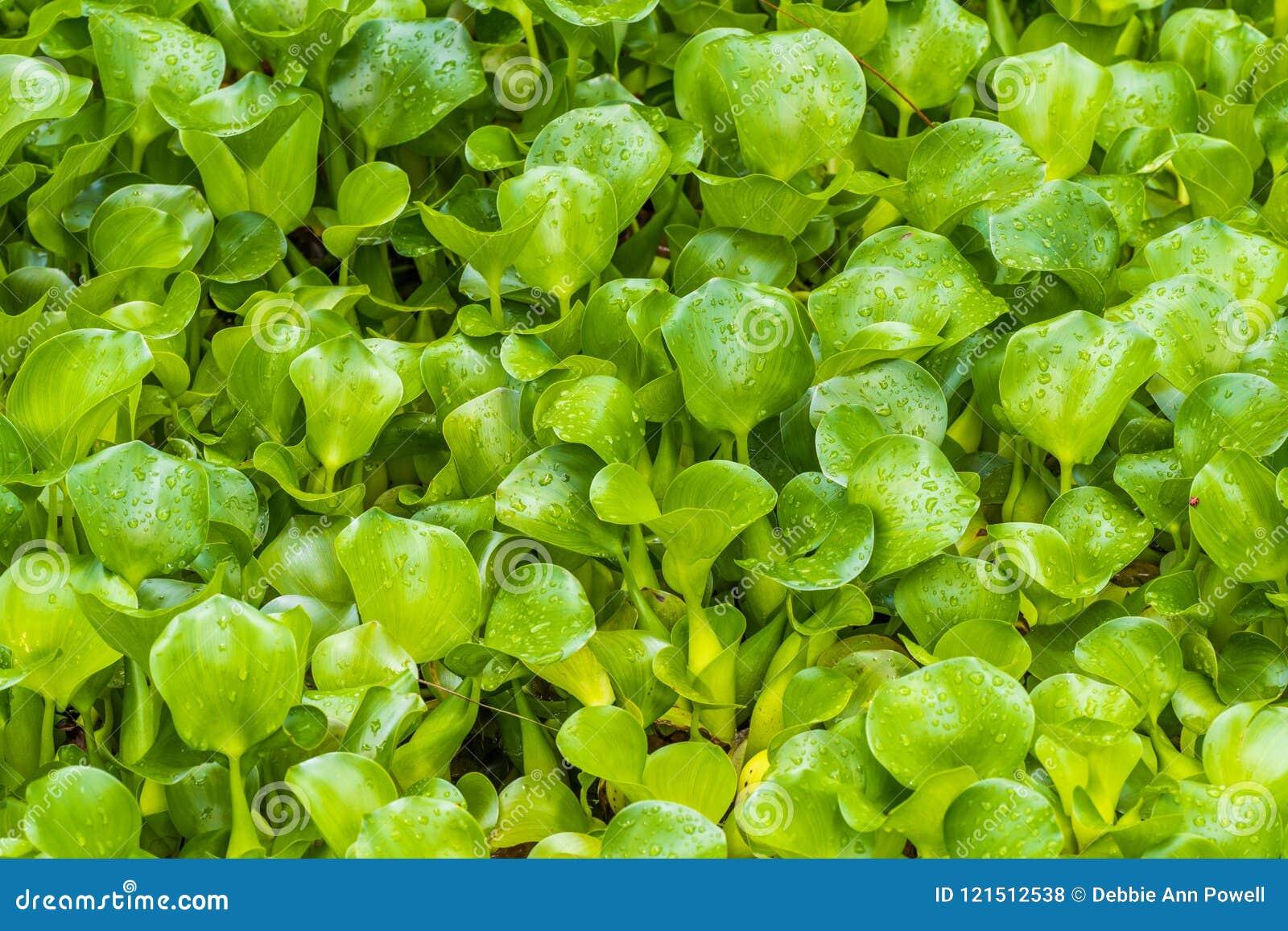 Estações de tratamento de água selvagens do jacinto comum com gotas da chuva