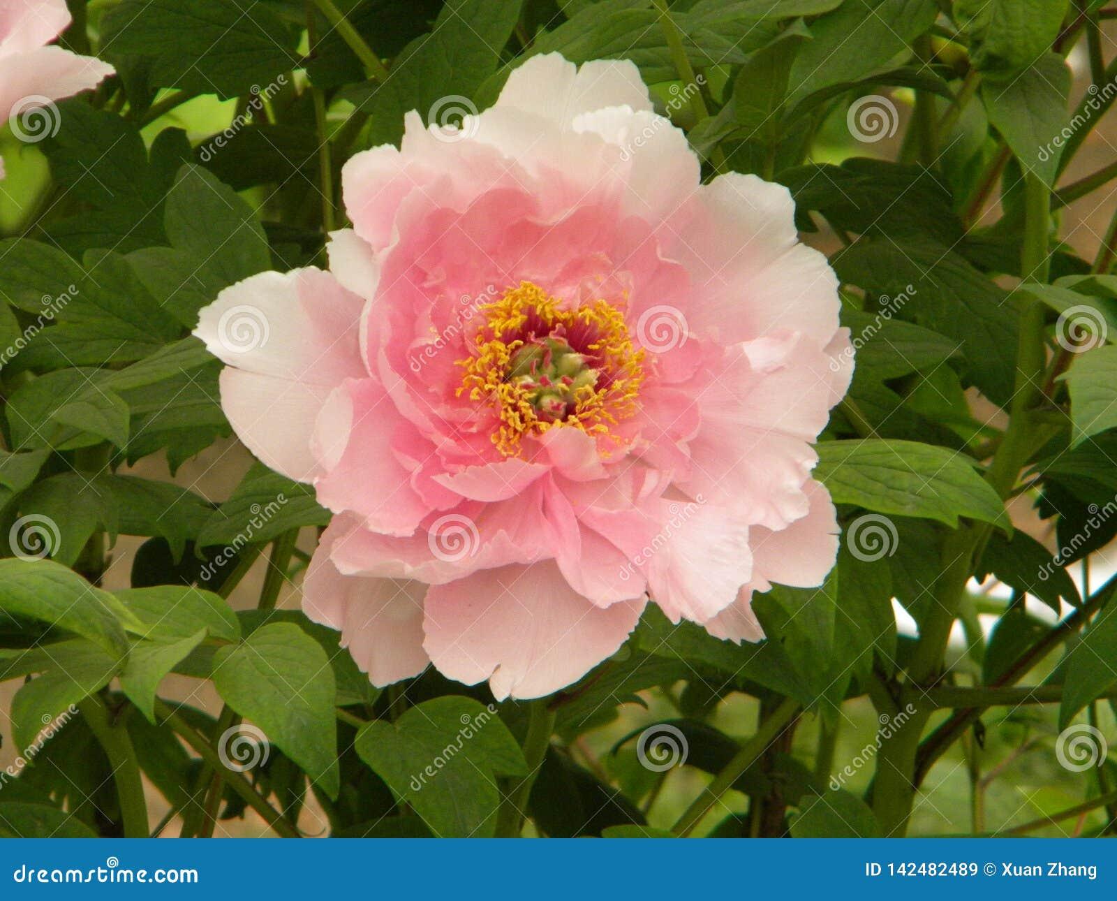 Esta é uma flor da peônia e igualmente a flor nacional de China