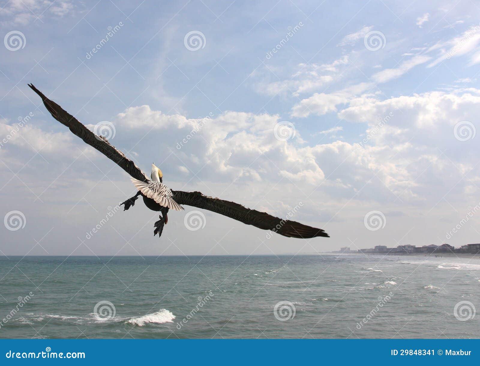 Pelicano em vôo