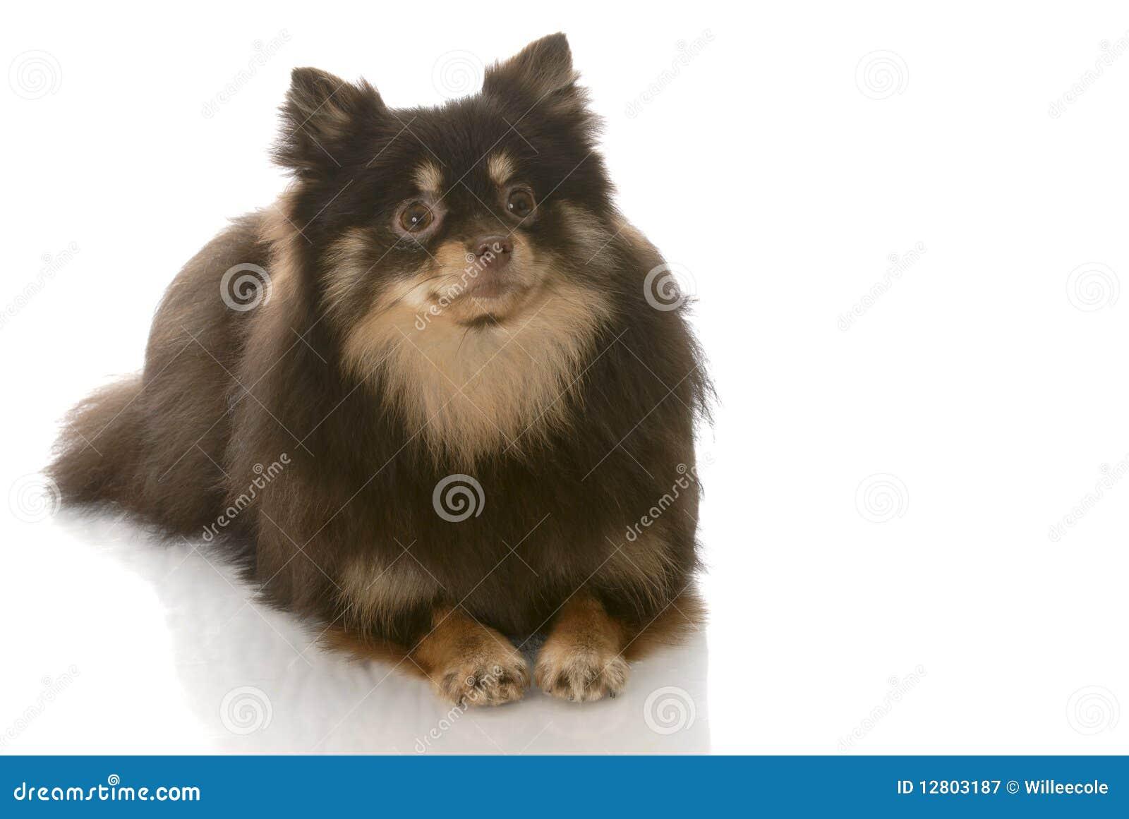 Estabelecimento de Pomeranian