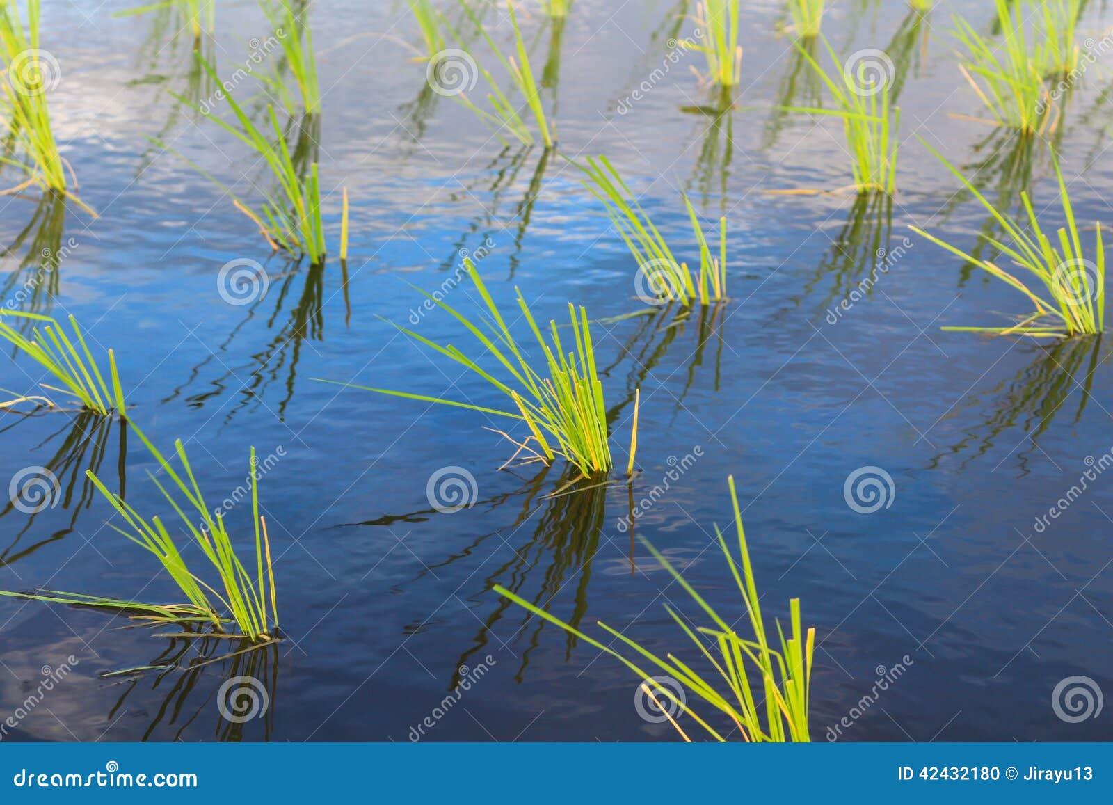 Establecimiento del arroz