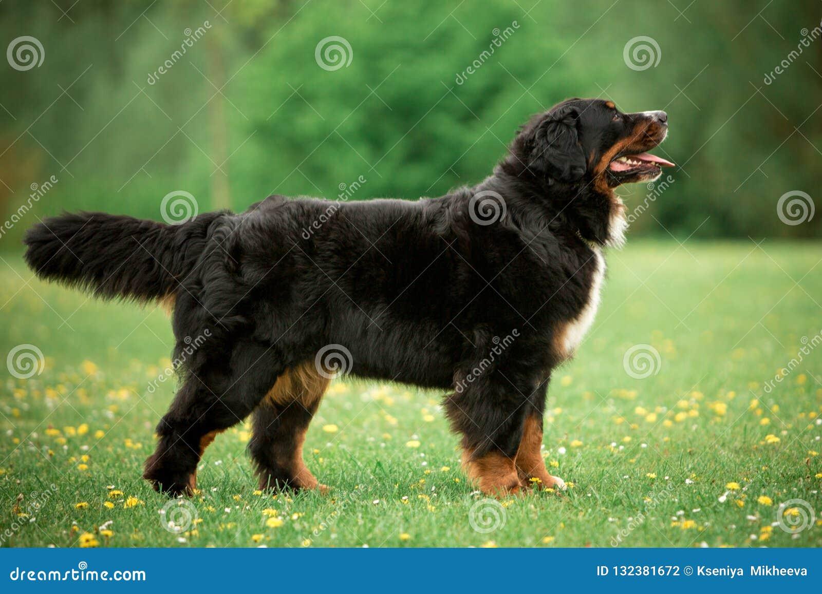 Estada do cão de montanha de Bernese no olhar da grama para a frente árvores e flores verdes no fundo