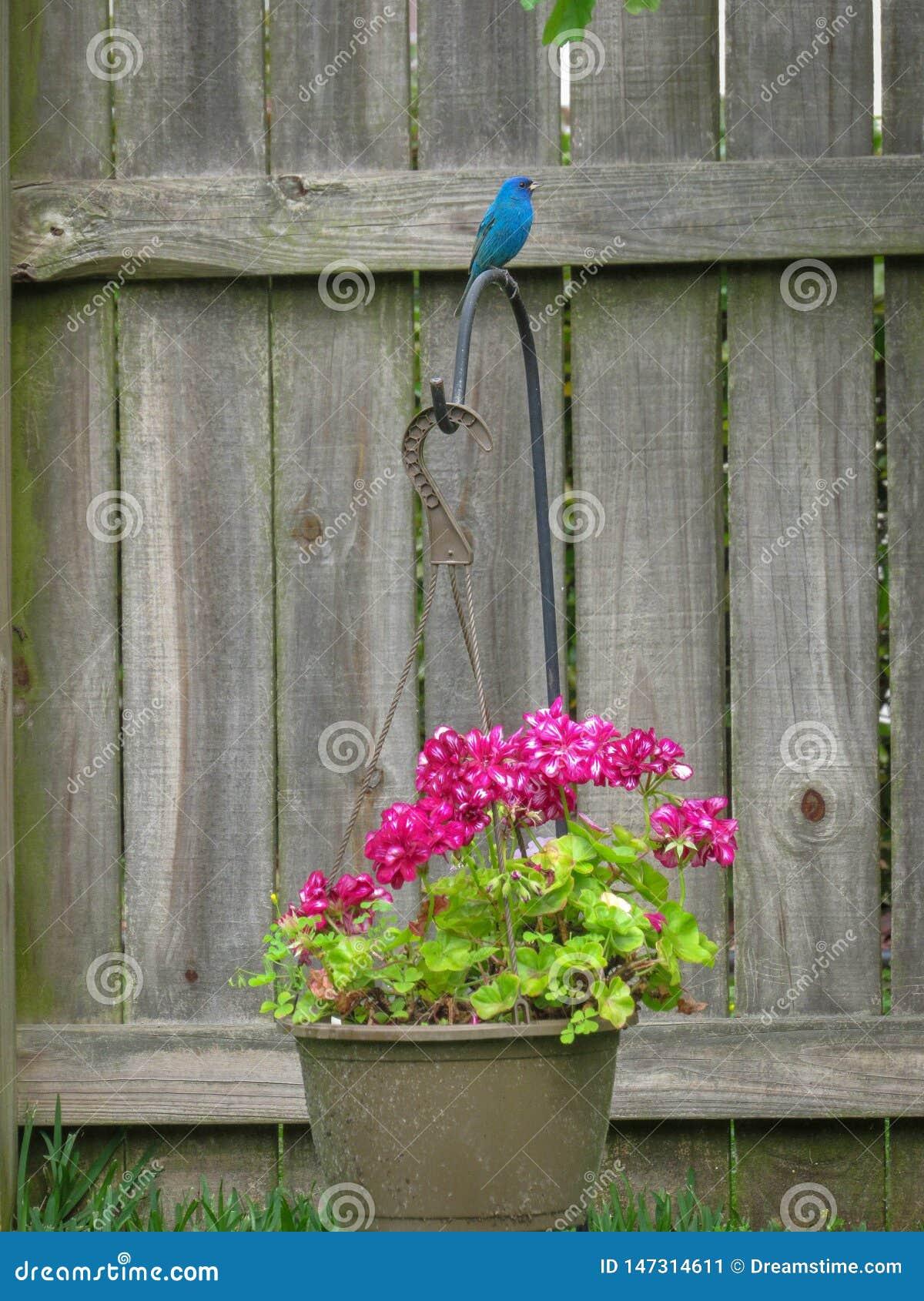 A estamenha de índigo empoleirou-se em um gerânio cor-de-rosa bonito