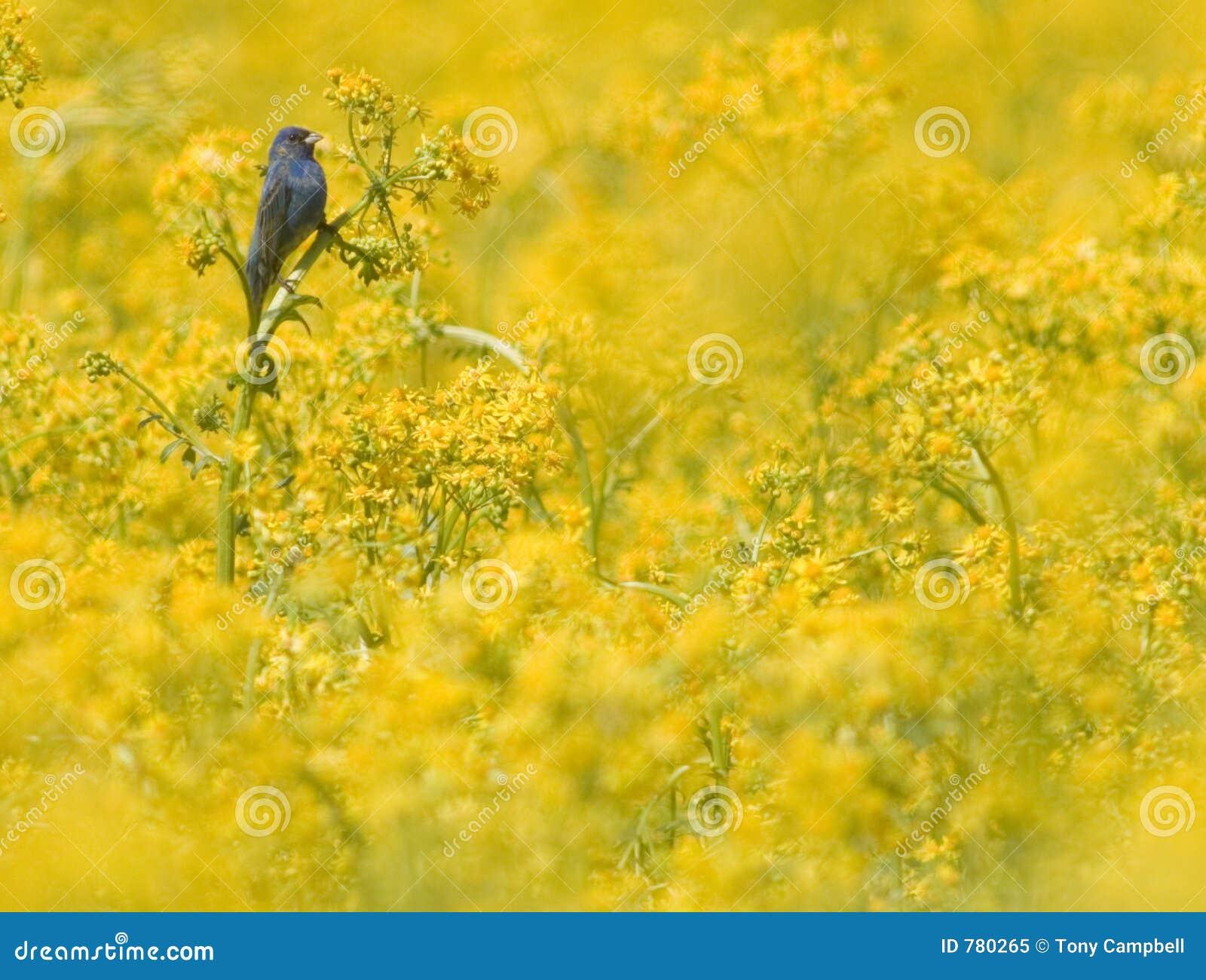 Estamenha de Indigo no campo amarelo