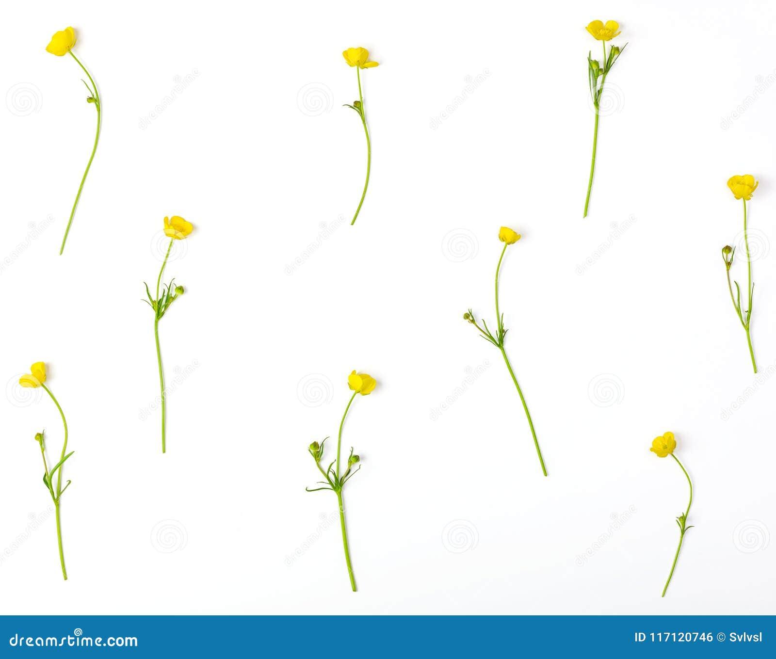 Estampado de flores hecho de las flores amarillas de los ranúnculos aisladas en el fondo blanco Endecha plana