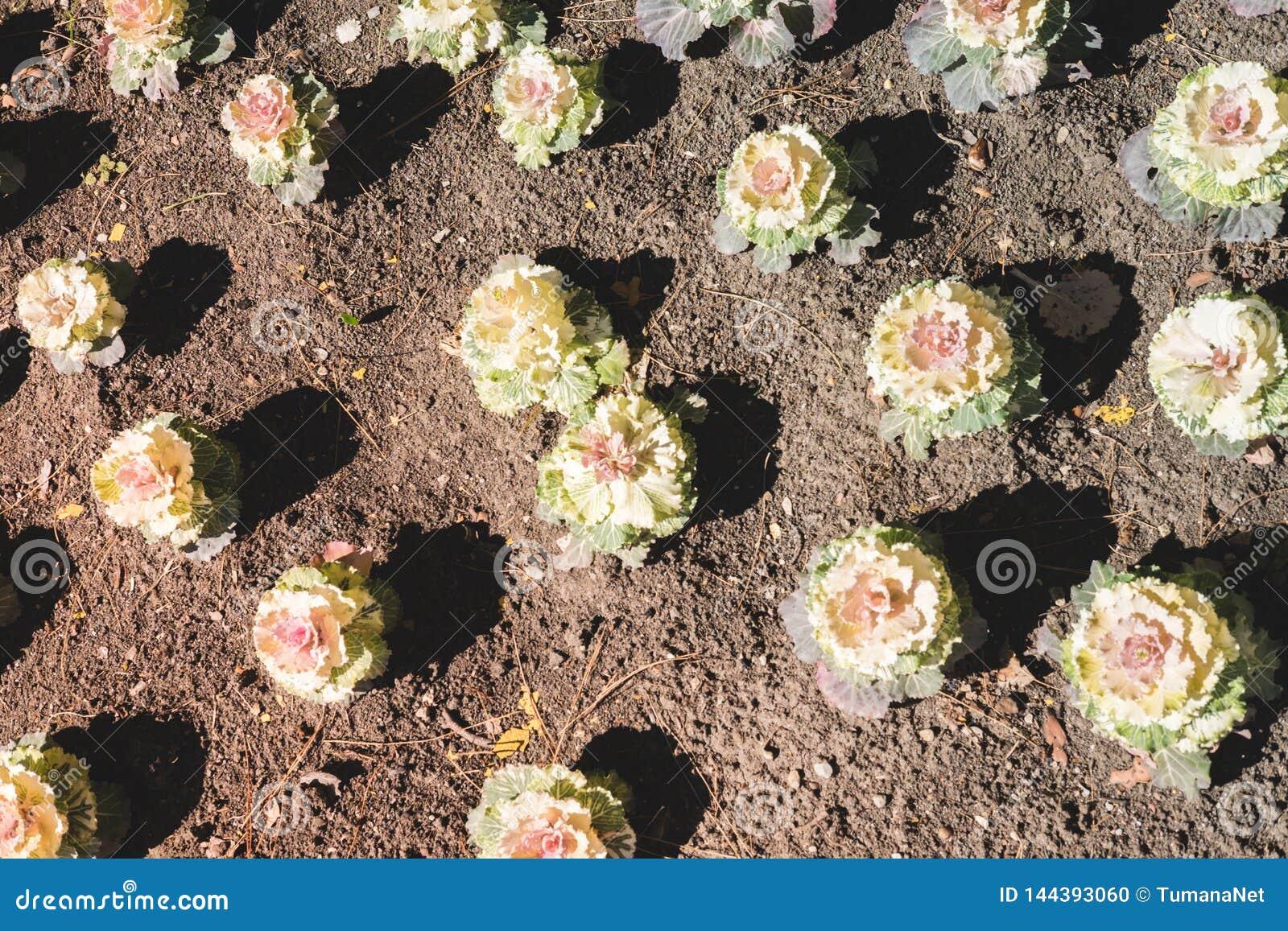 Estampado de flores de las flores de la col decorativa del color blanco y rosado que crece en la tierra marrón Fondo natural