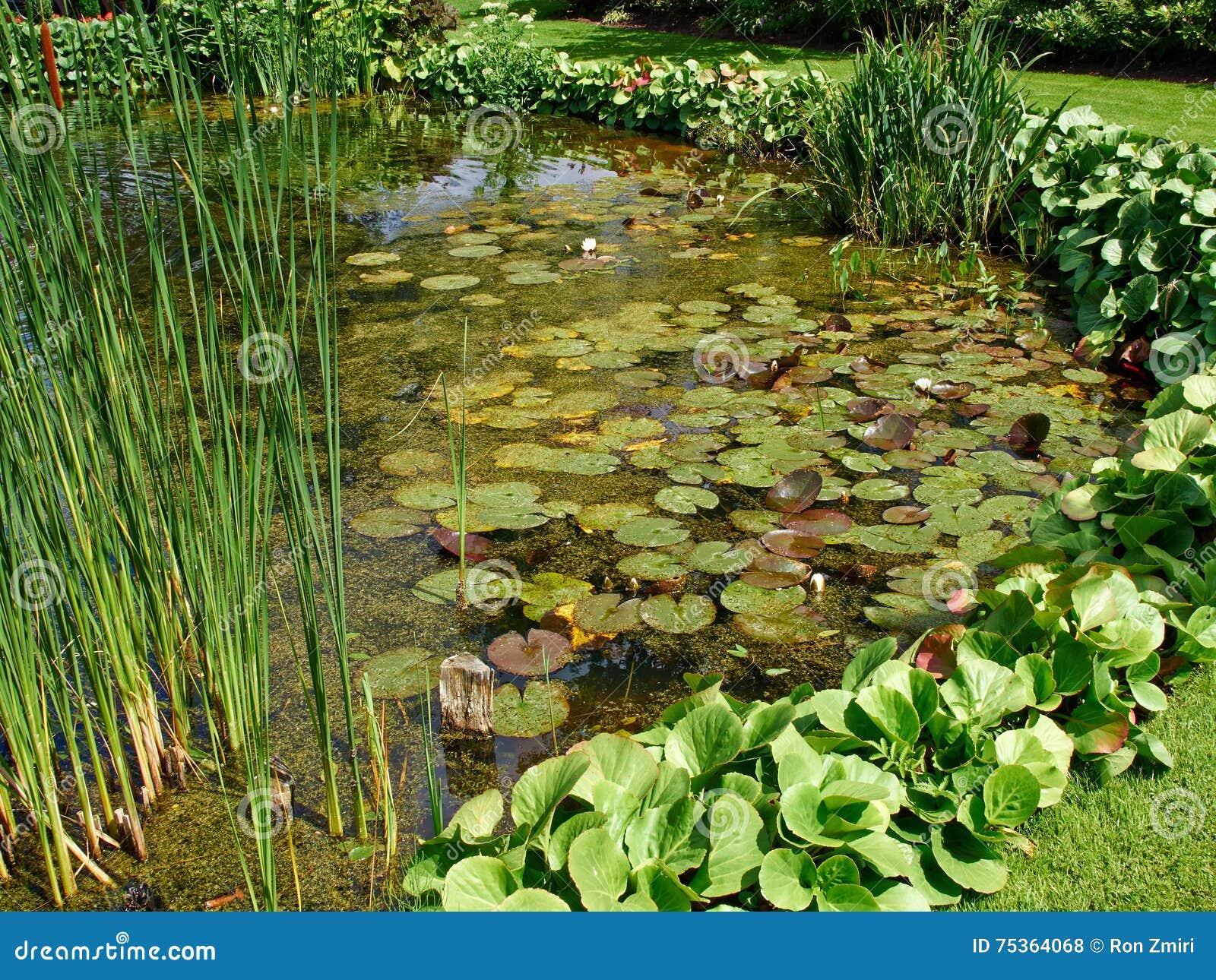 estanque de peces clsico hermoso del jardn del diseo con el lirio de agua foto de