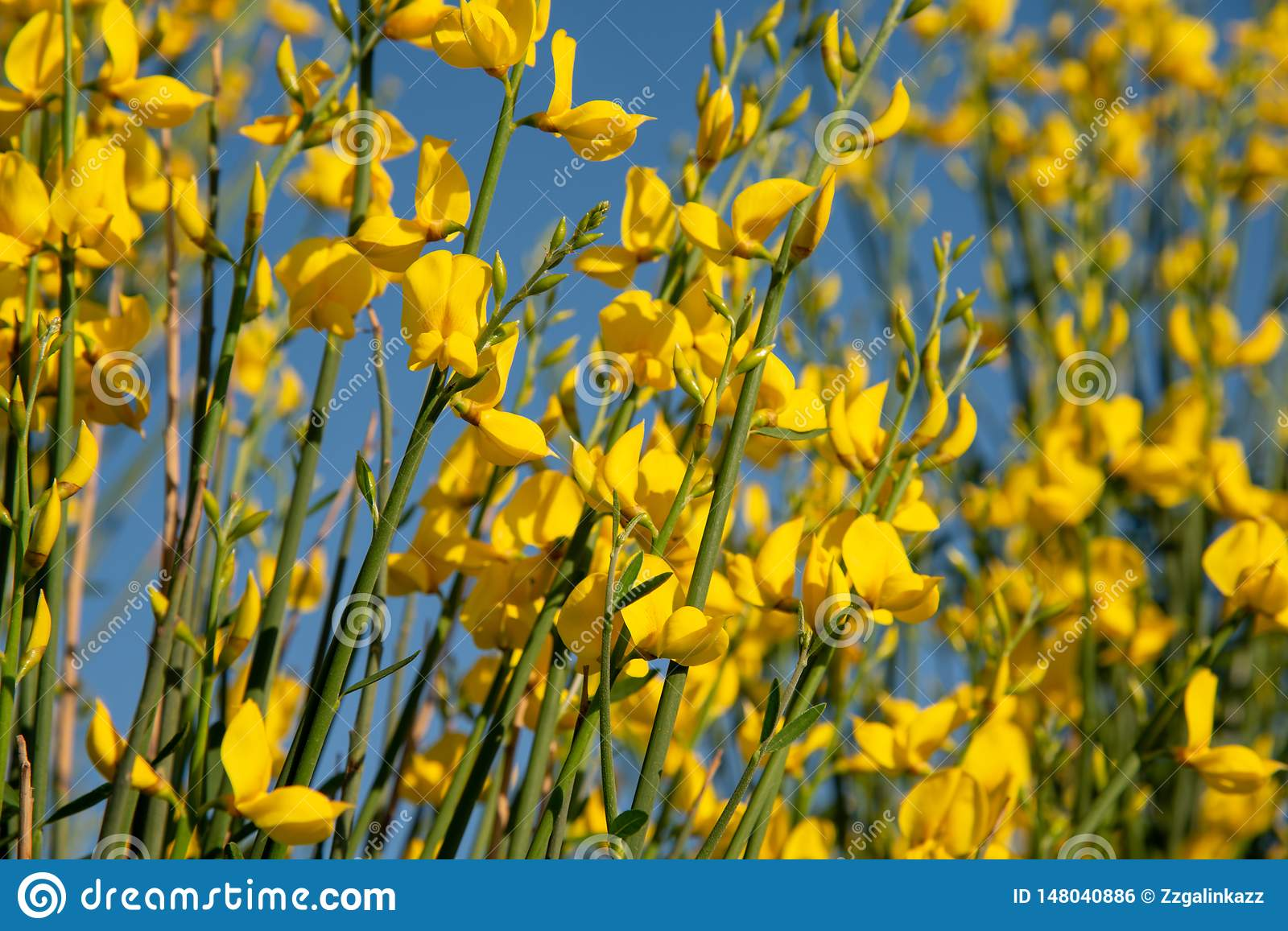 Estas s?o flores amarelas do genista selvagem Fundo