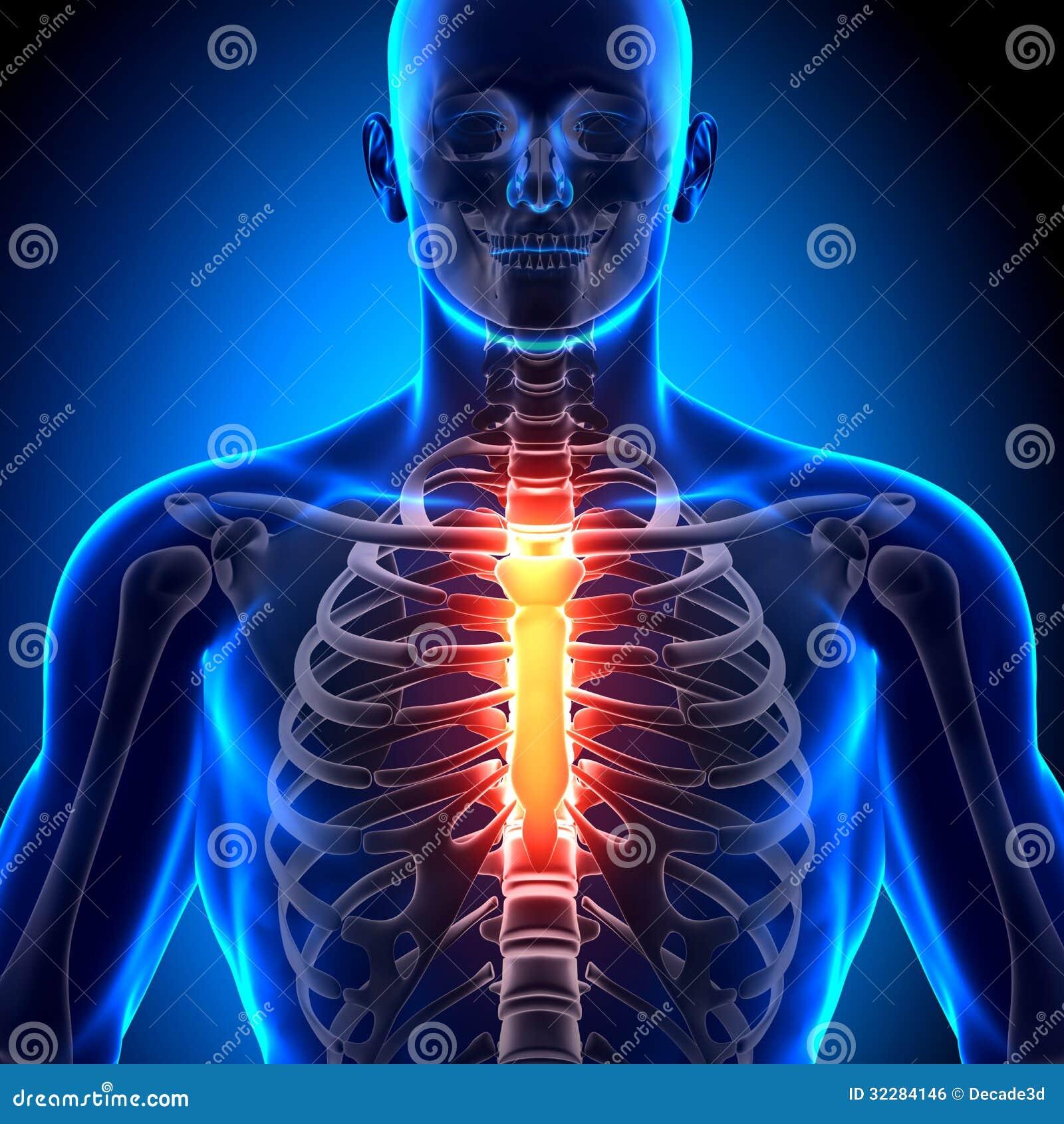 Esternón - Huesos De La Anatomía Stock de ilustración - Ilustración ...