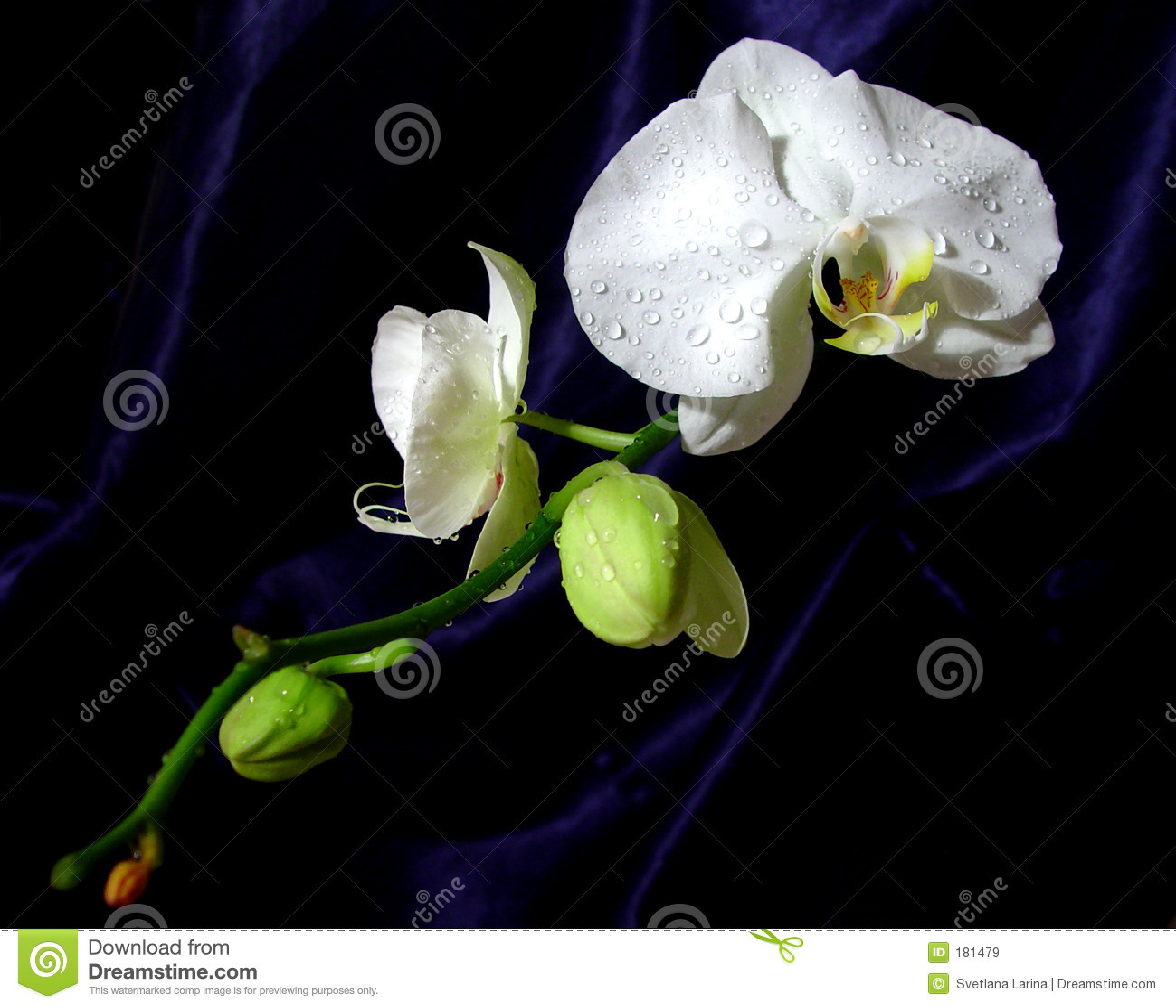 Estilo blanco de oriental de la orquídea