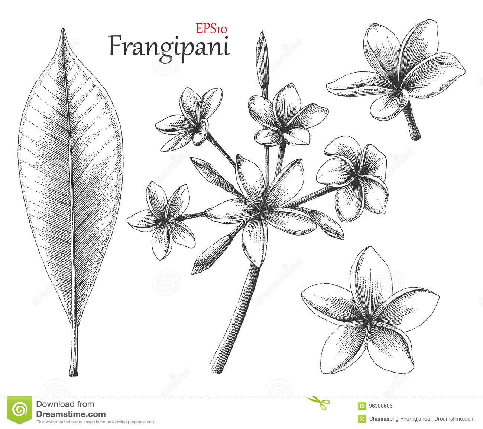 Estilo del vintage del dibujo de la mano del Frangipani